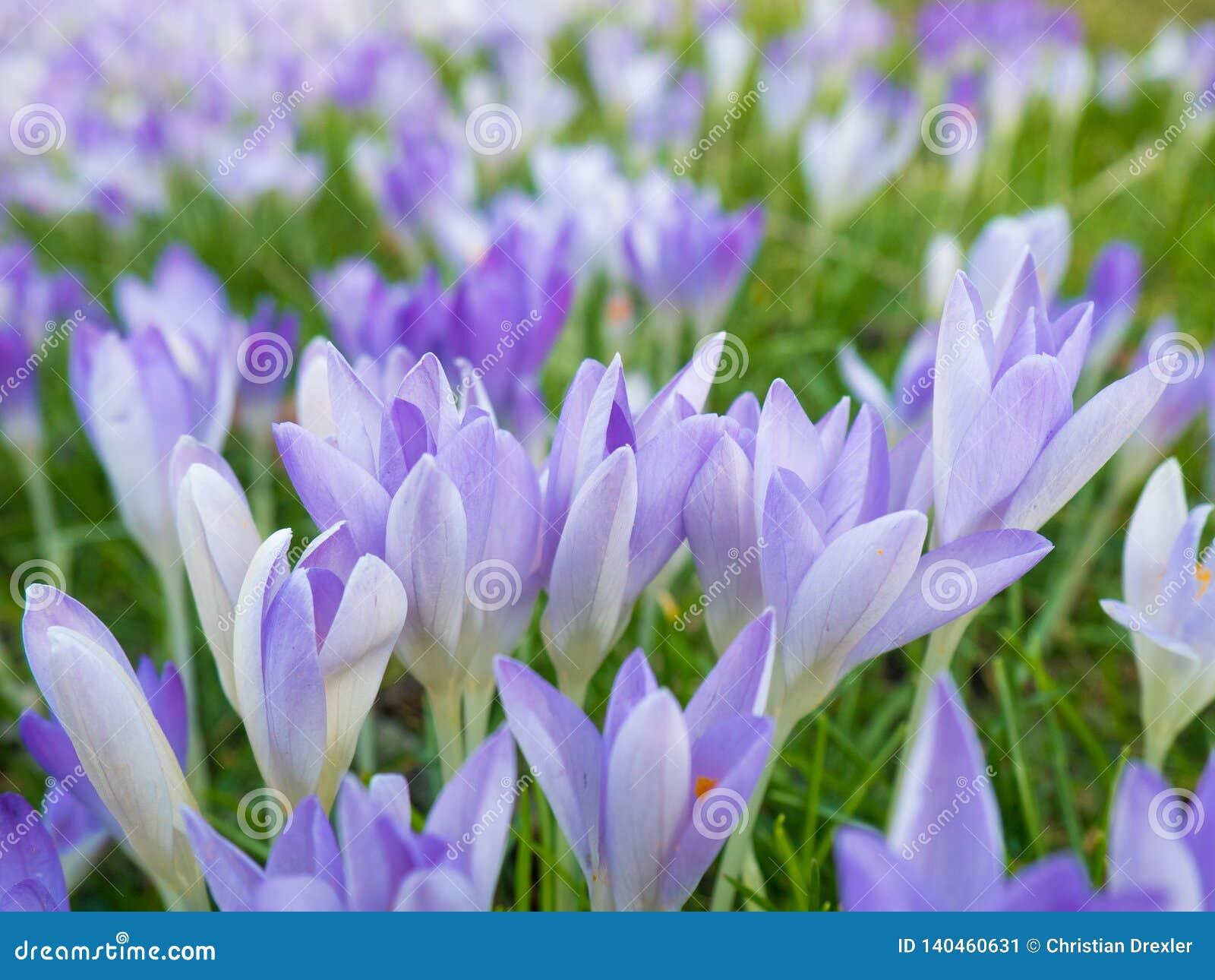 Violet Flowers chez Flora à Cologne, Allemagne, sont les premières usines de floraison au printemps