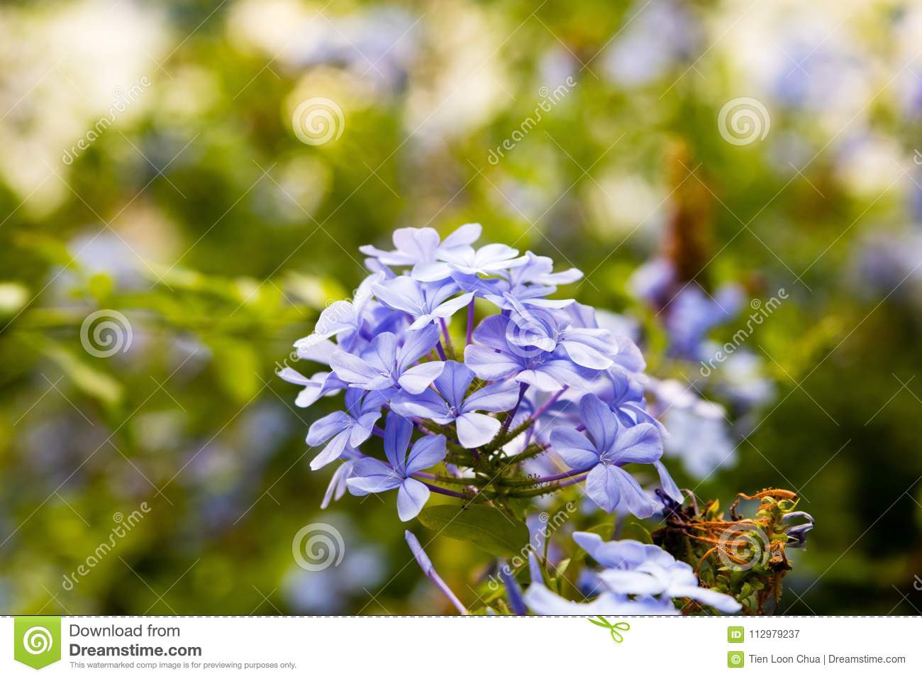 Violet flowers in a cluster