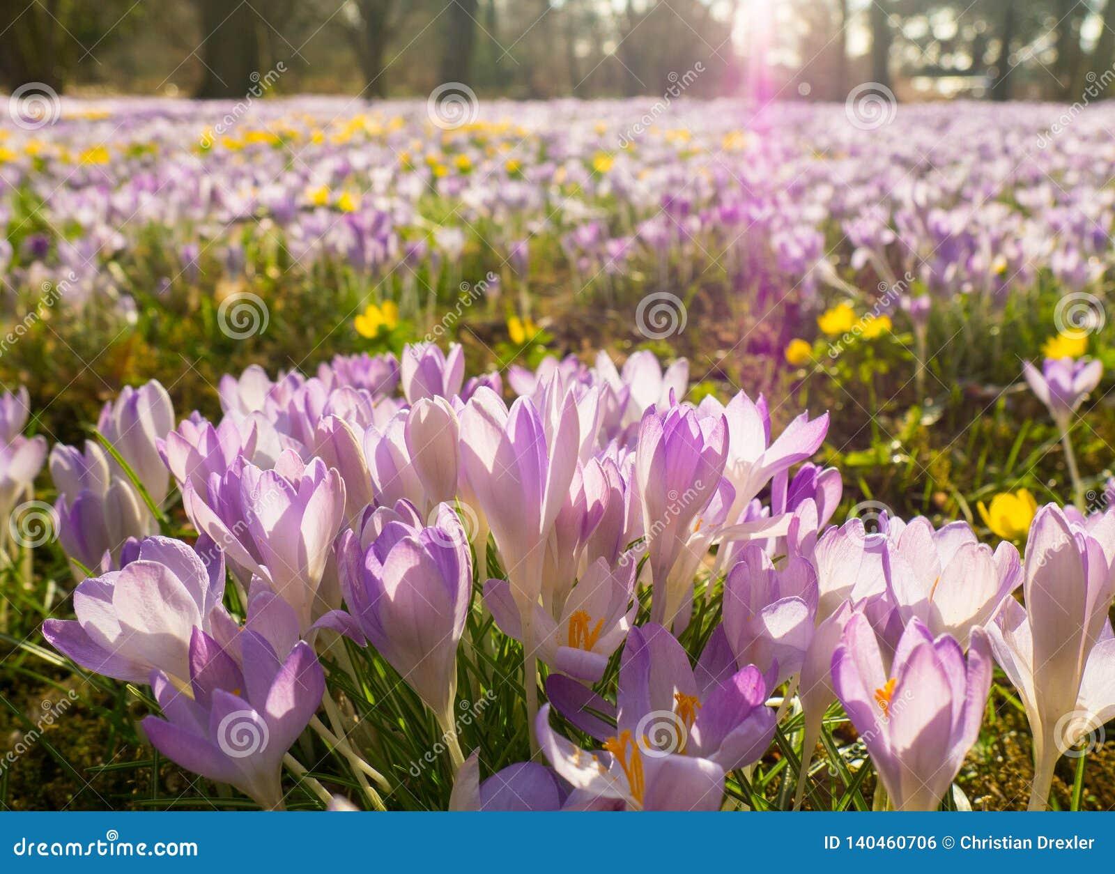Violet Flowers na flora na água de Colônia, Alemanha