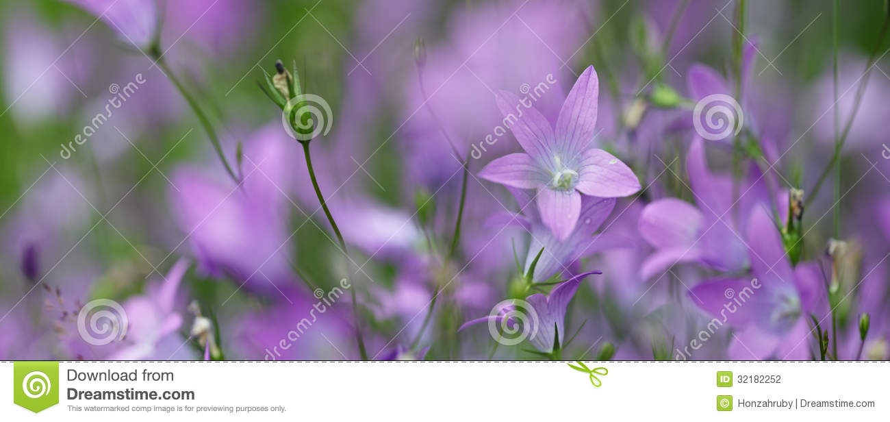 Violet Flowers Panorama Stock Photography Image 32182252