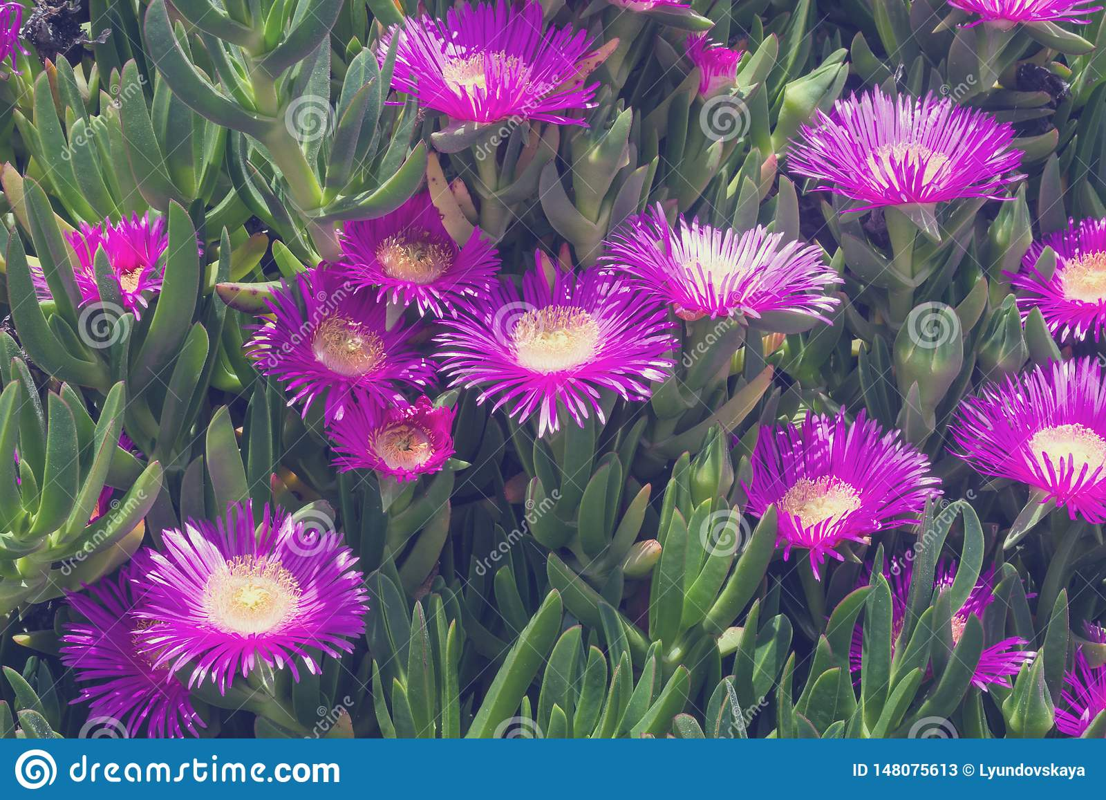 Violet Flowers And Thick Green Leaves Of Carpobrotus Carpobrotus Edulis Is An Edible And Medicinal Plant Succulents Stock Image Image Of Nature Flower 148075613
