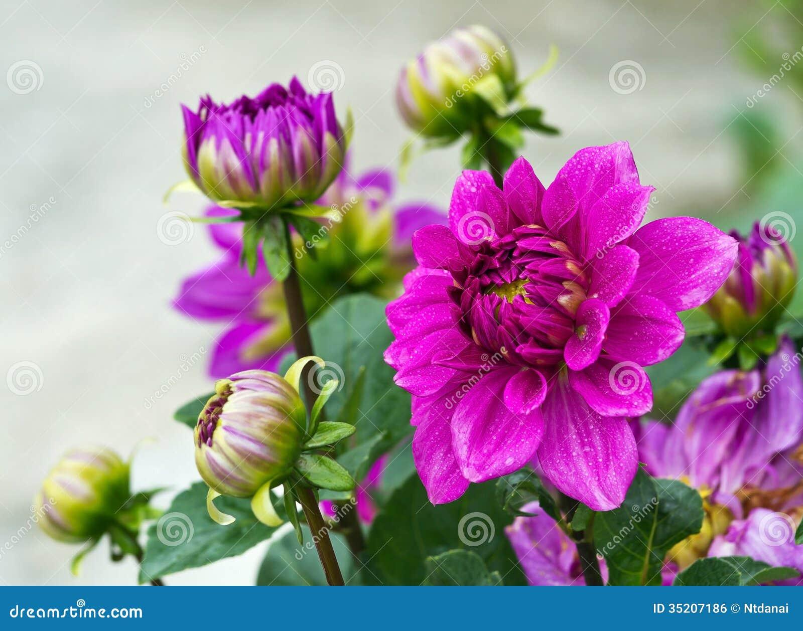 Violet Garden Dahlia Stock Photo Image Of Flora Bright 35207186