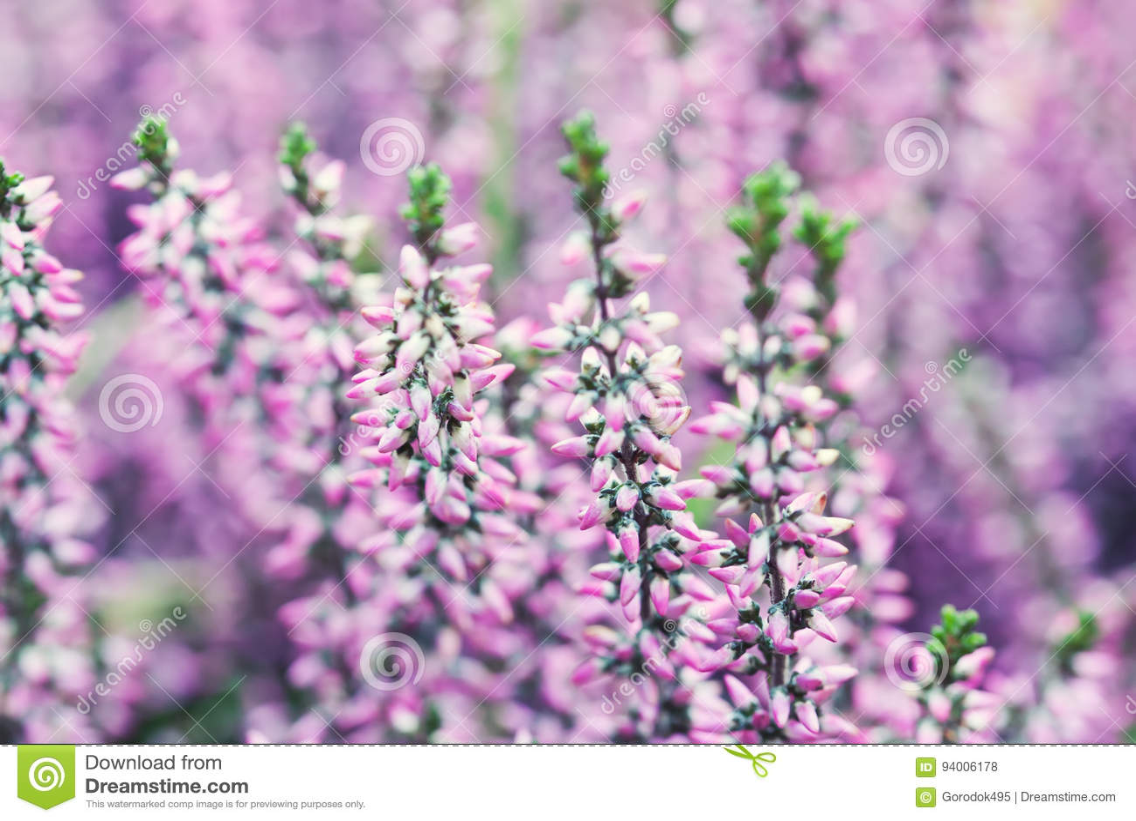 Violet Heather Flowers Field Calluna Vulgaris Small Pink Lilac