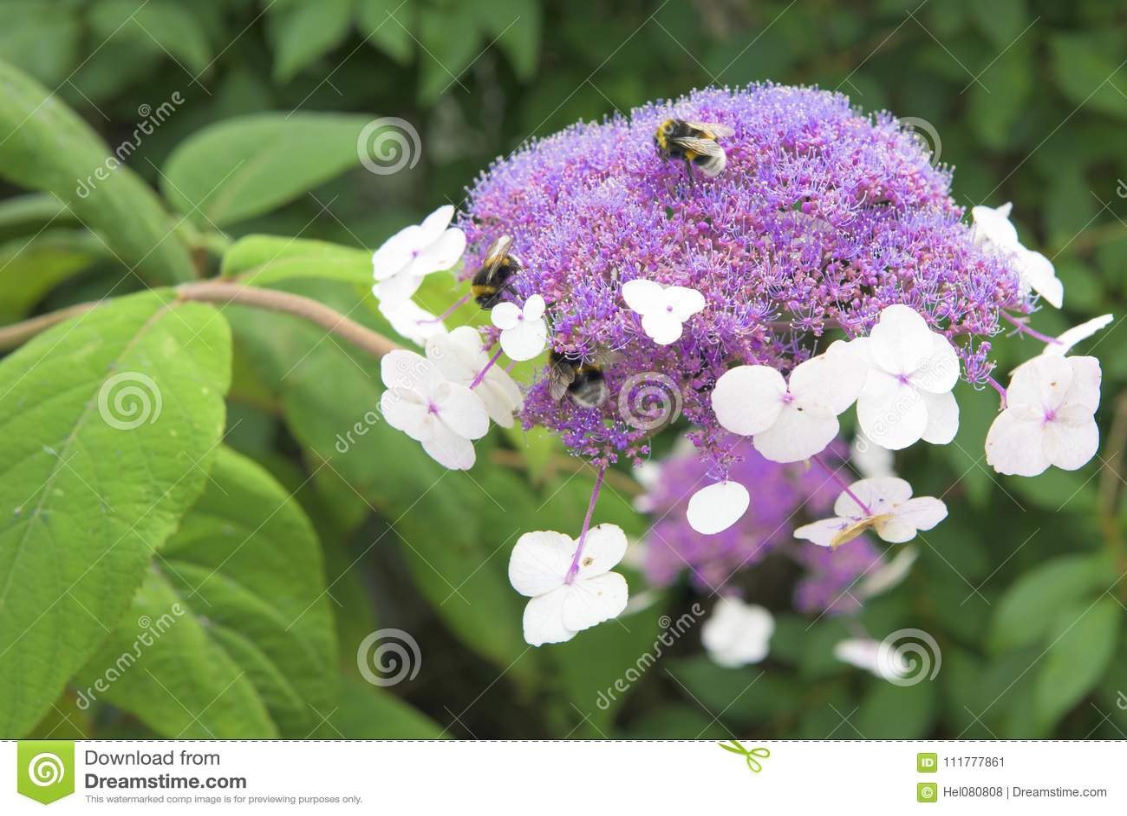 Violet hortensia - hydrangea macrophylla - laceap hydrangea