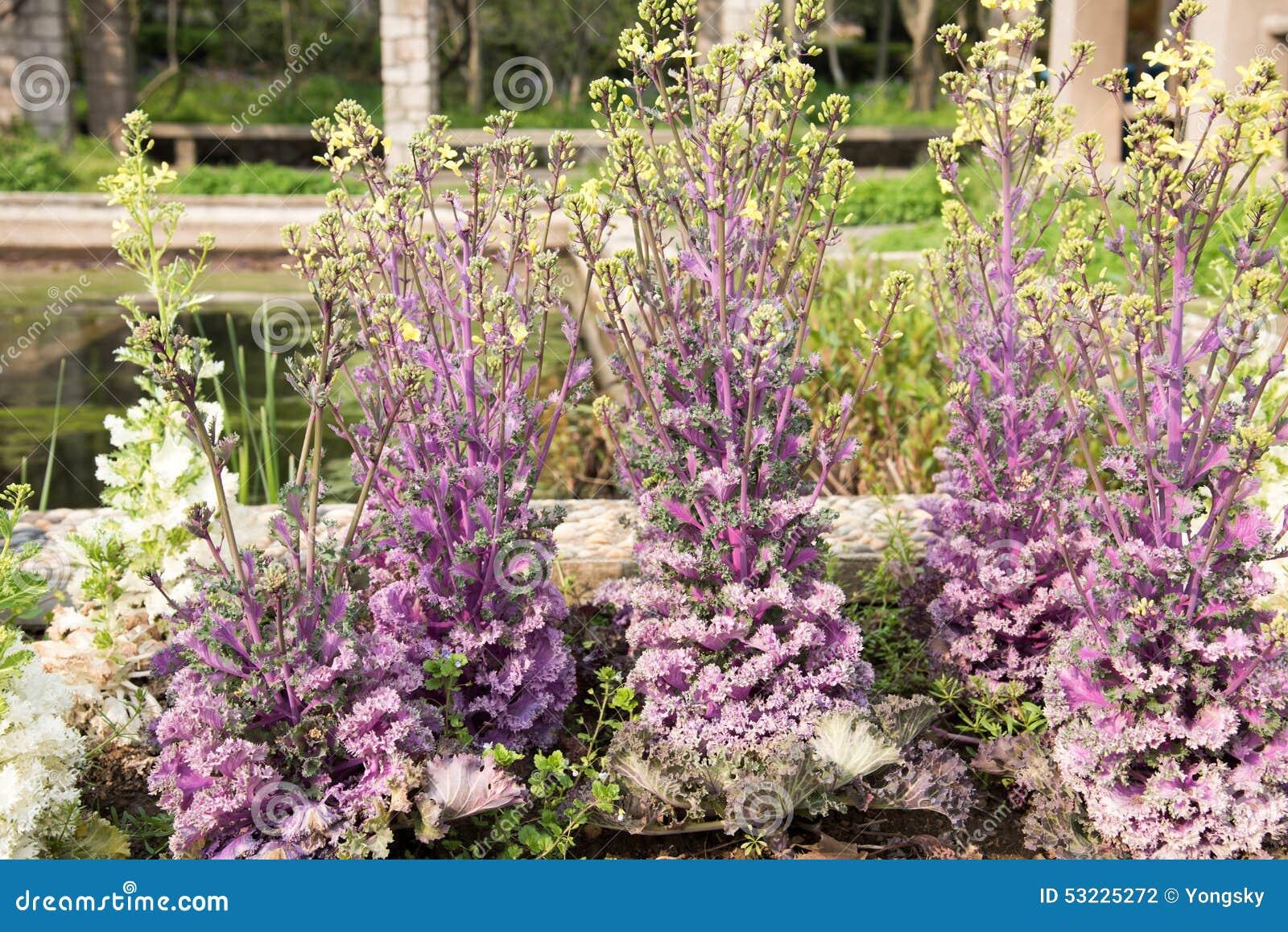 Violet Kale