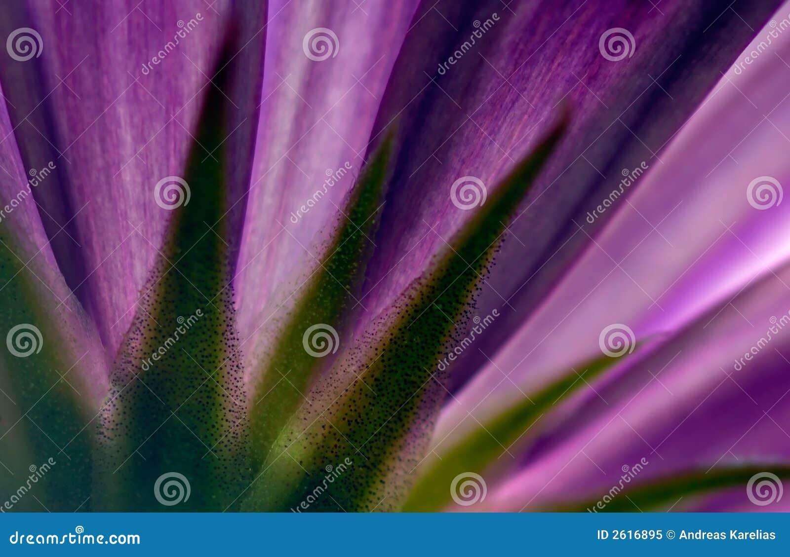 Violet, kwiat