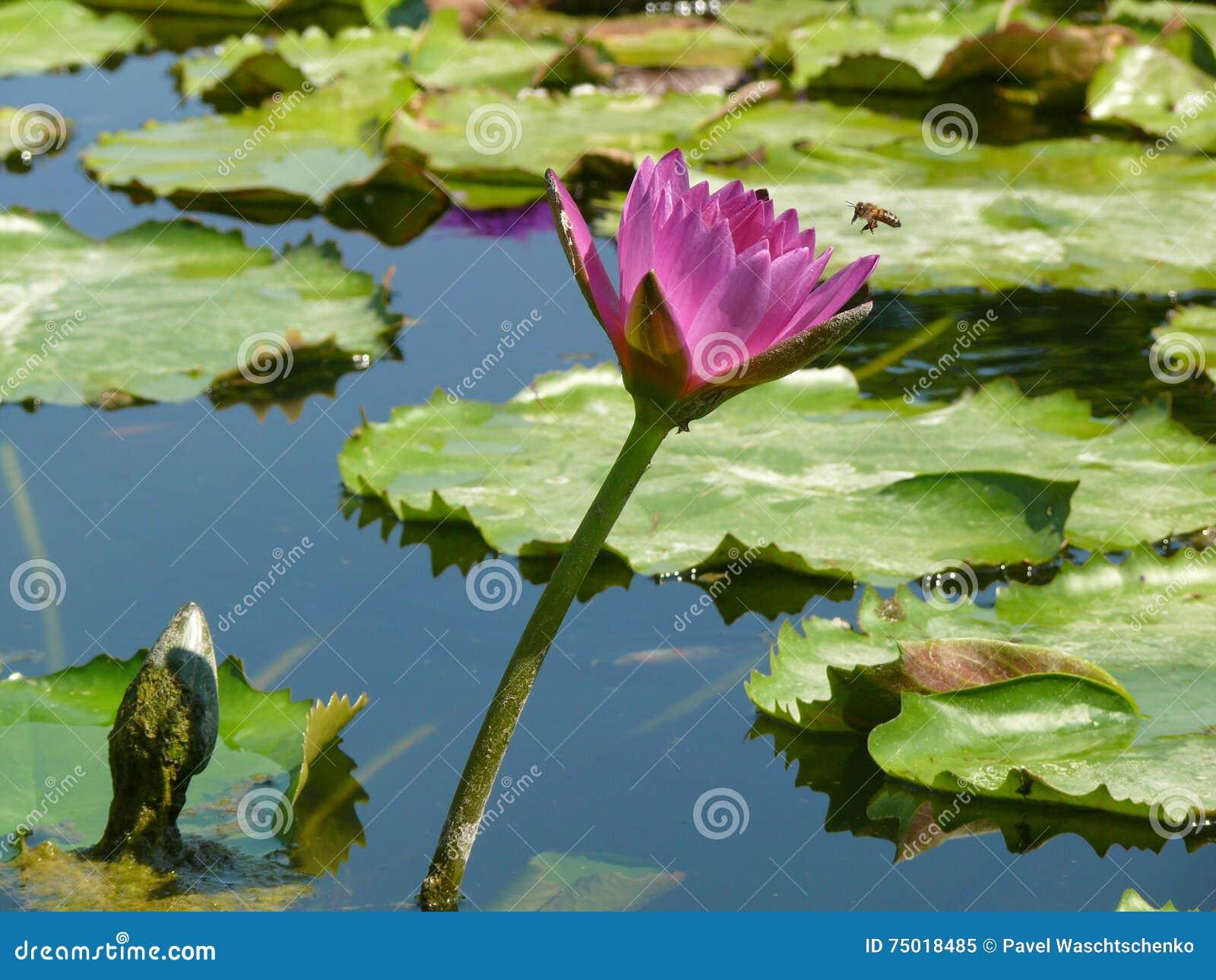 Violet lily in de vijver op een heldere zonnige dag violette