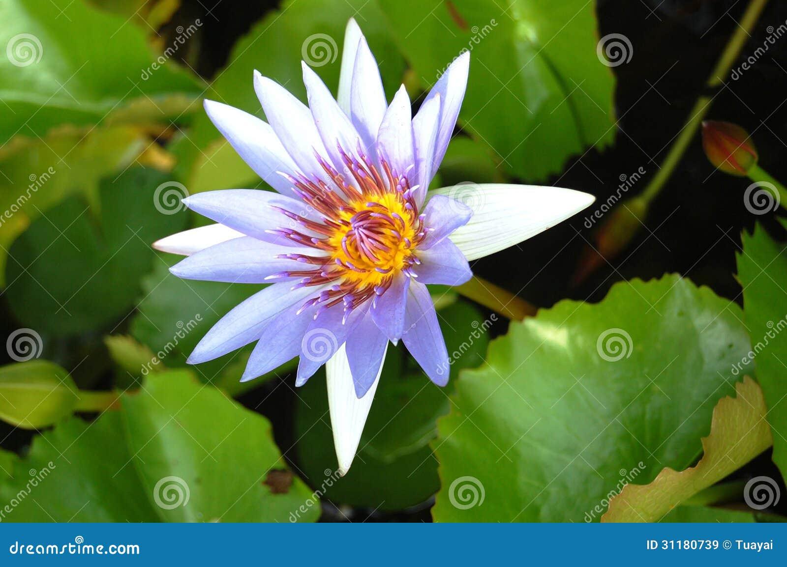 violet lotus blossom lizenzfreie stockbilder bild 31180739. Black Bedroom Furniture Sets. Home Design Ideas