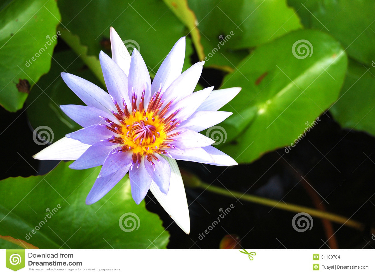 Violet lotus blossom stock photo image of green floral 31180784 download violet lotus blossom stock photo image of green floral 31180784 mightylinksfo