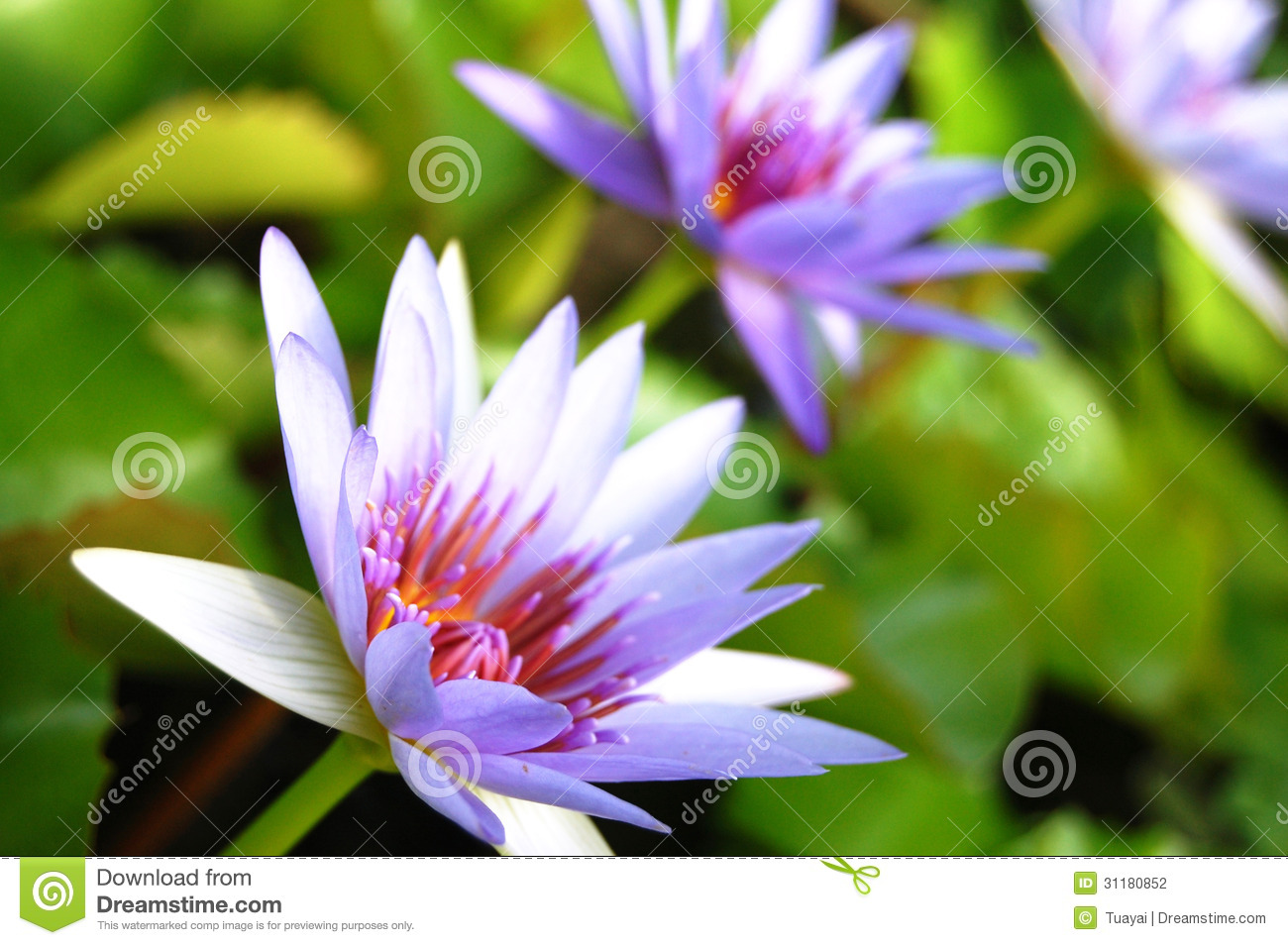 Violet Lotus Blossom Stock Photo Image Of Lotus Park 31180852