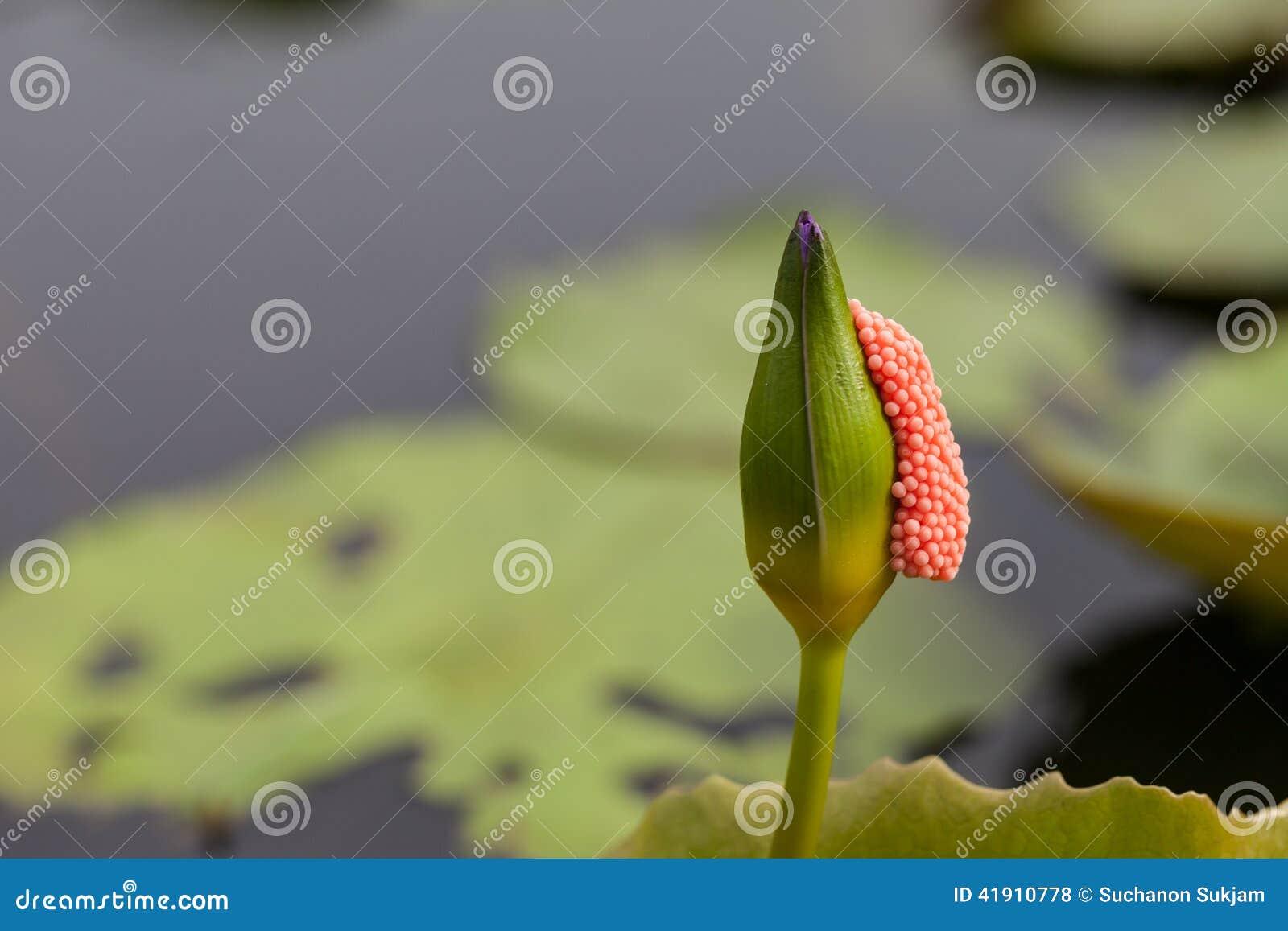 Violet Lotus con el palillo de las cáscaras de huevo