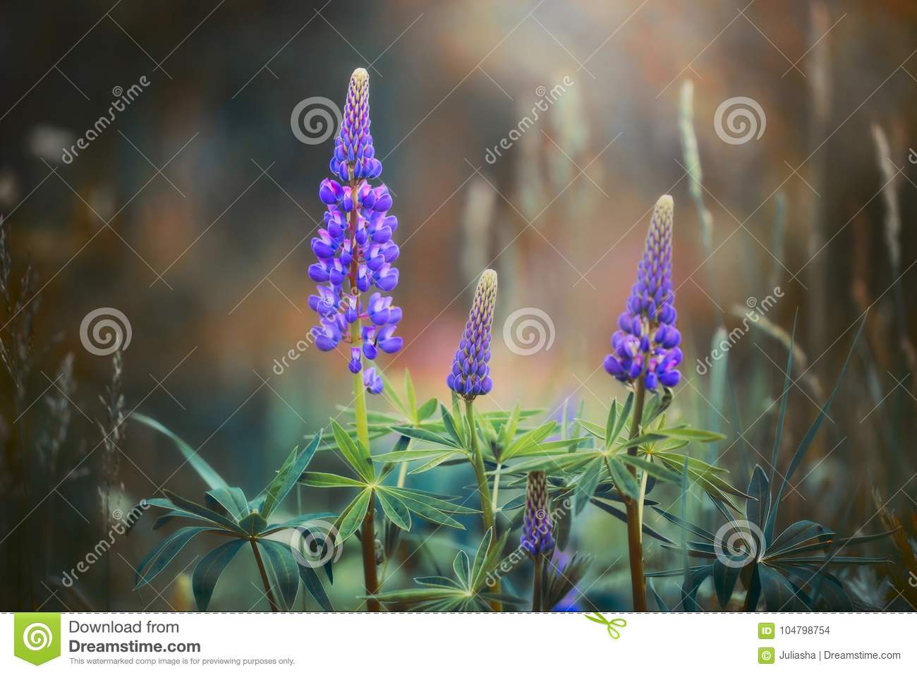 Violet Lupines in meadow