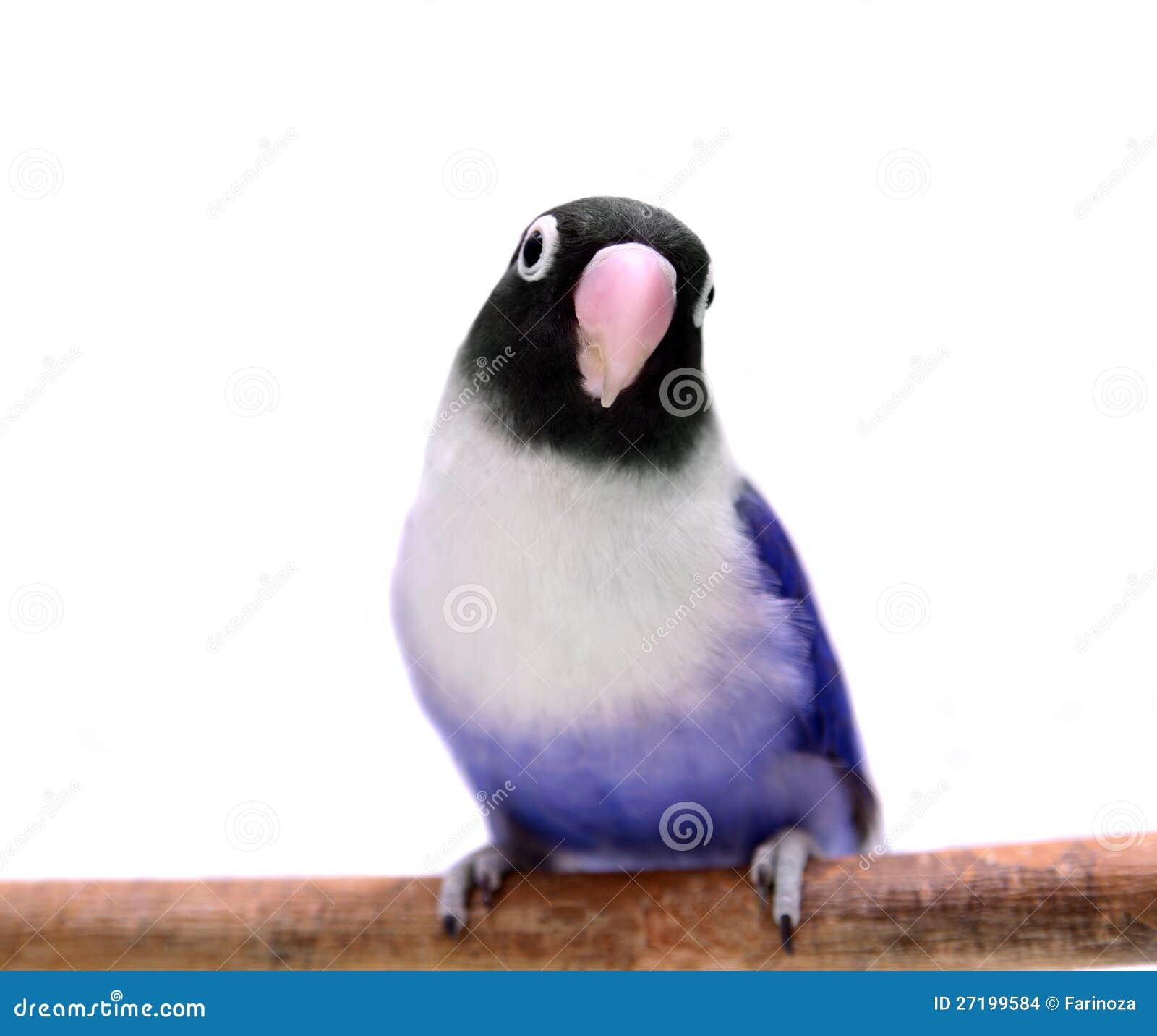 More similar st... Violet Masked Lovebird