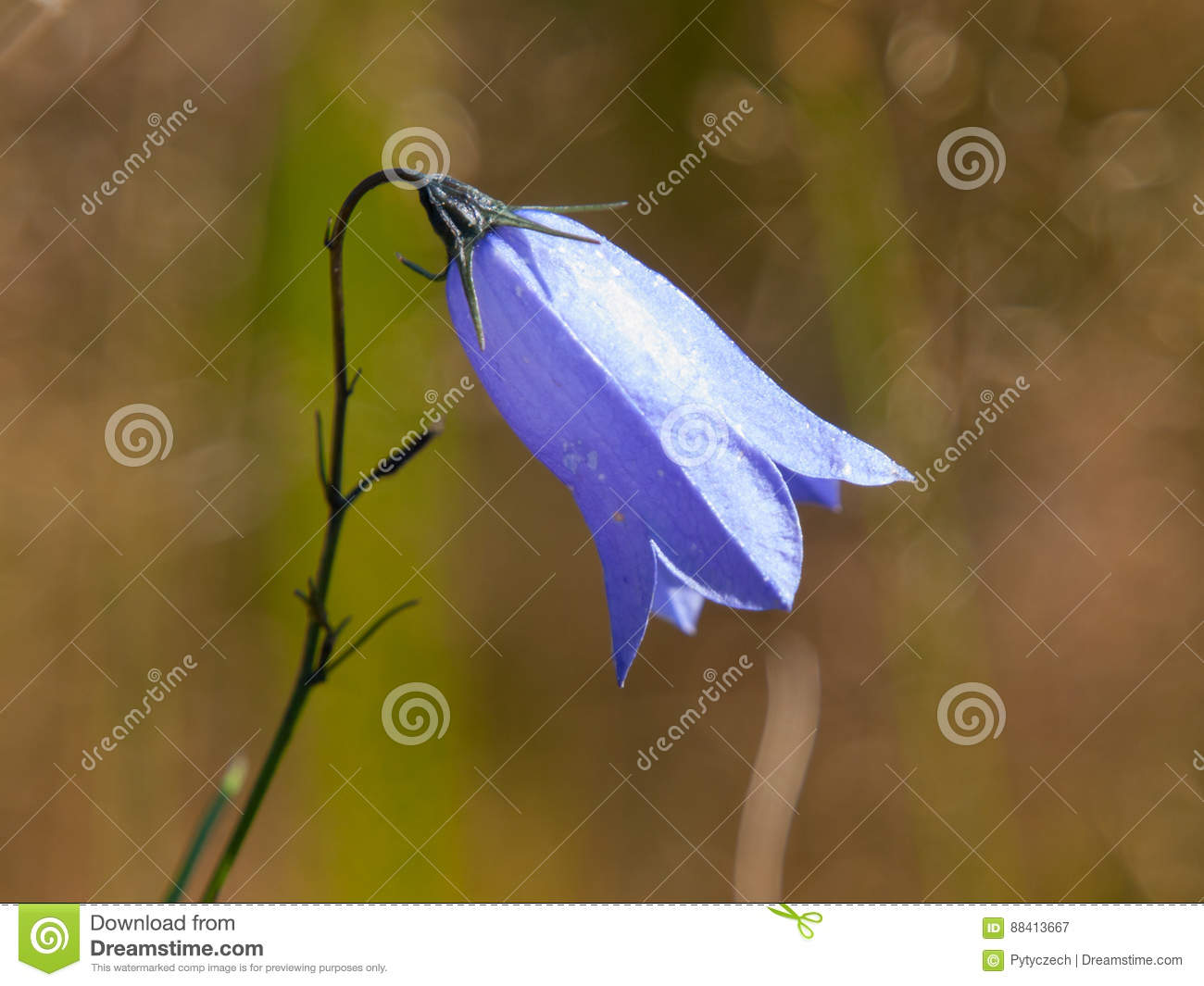 Background image 8841 - Violet Meadow Bellflower Aka Campanula With Green Bokeh Background Shallow Depth Of Field