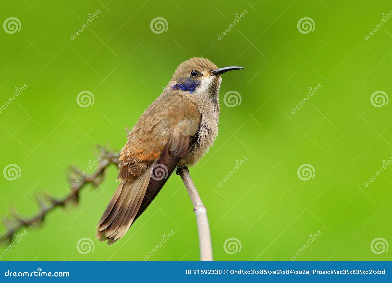 Violet-oreille de Brown, delphinae de Colibri, vol d oiseau de colibri à côté de belle fleur rose, fond vert orange fleuri gentil