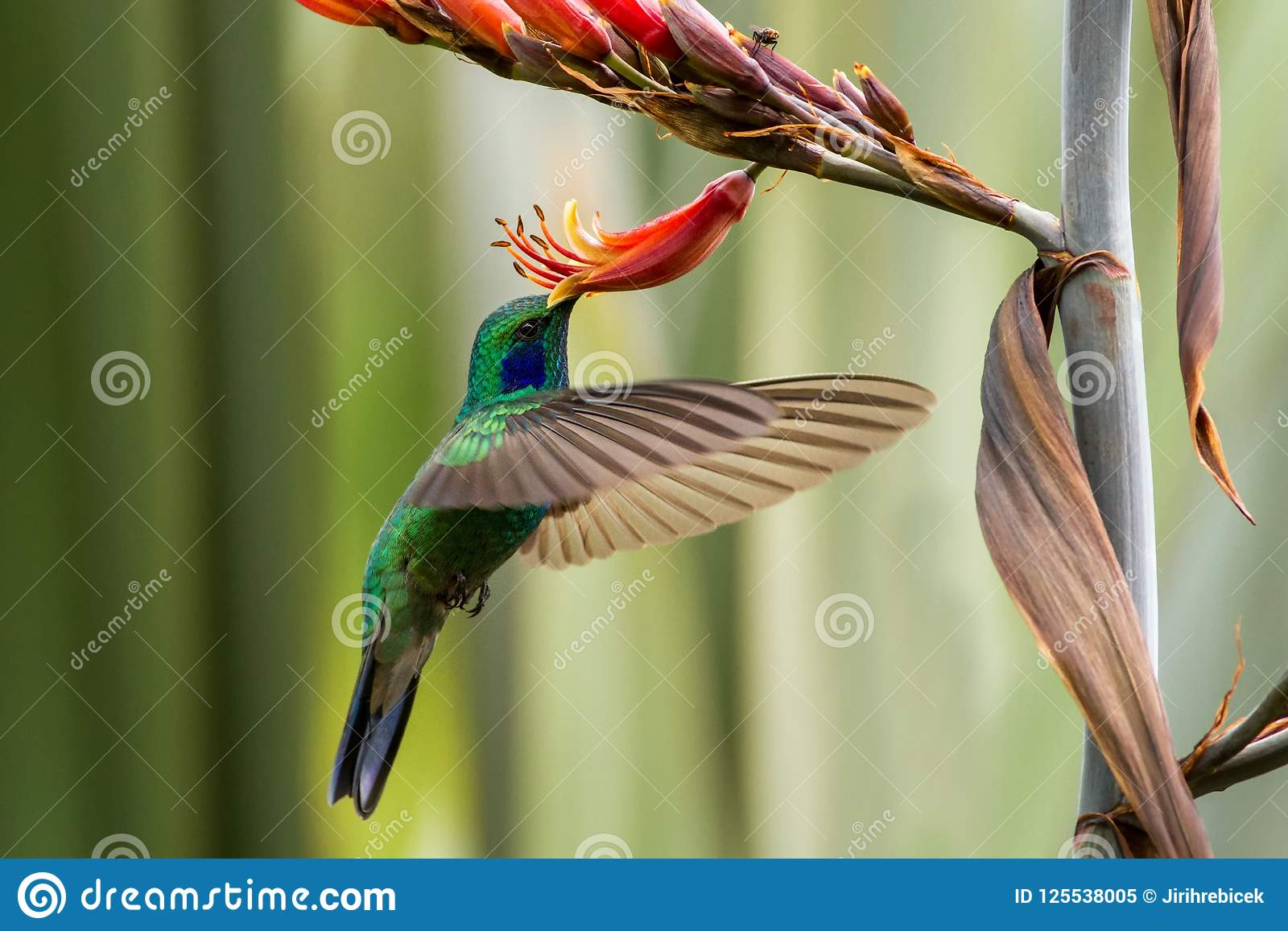 Violet-oreille verte planant à côté de la fleur rouge et jaune, oiseau en vol, forêt tropicale de montagne, Mexique, jardin