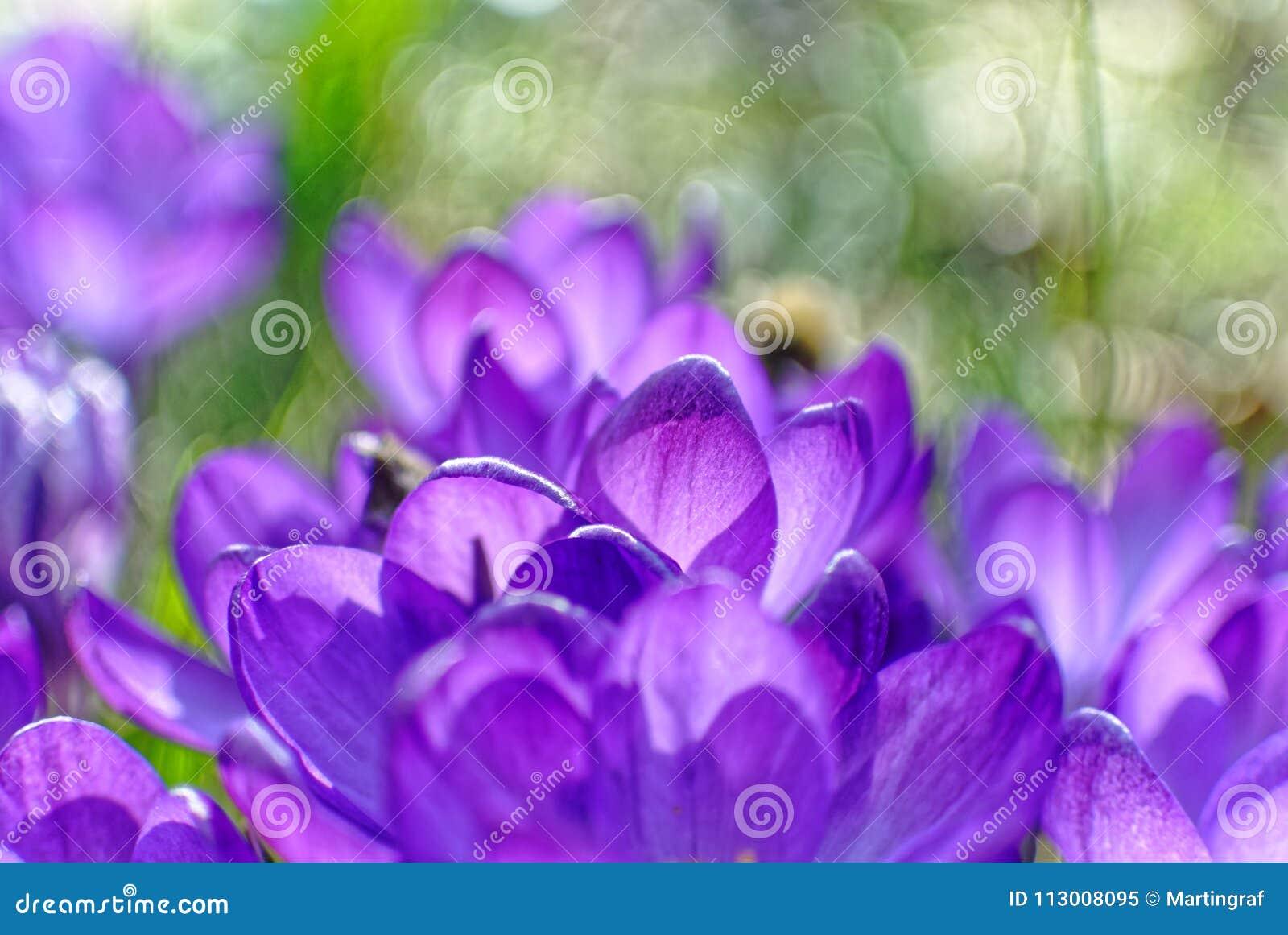 Violet petals Crocus bloom in garden, blurred image