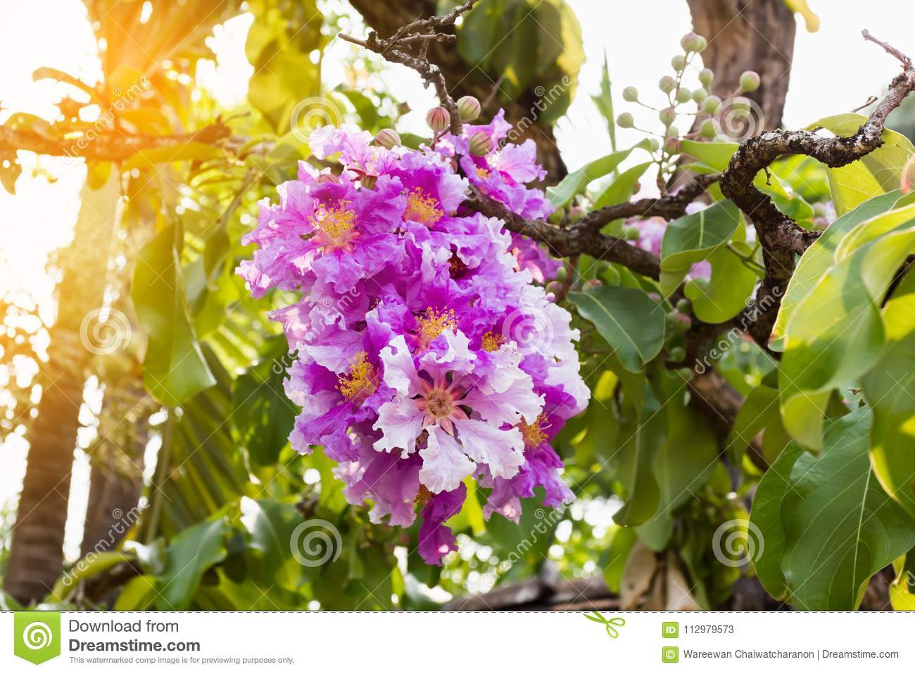 The violet pink Bungor flower bunch on tree in summer day light