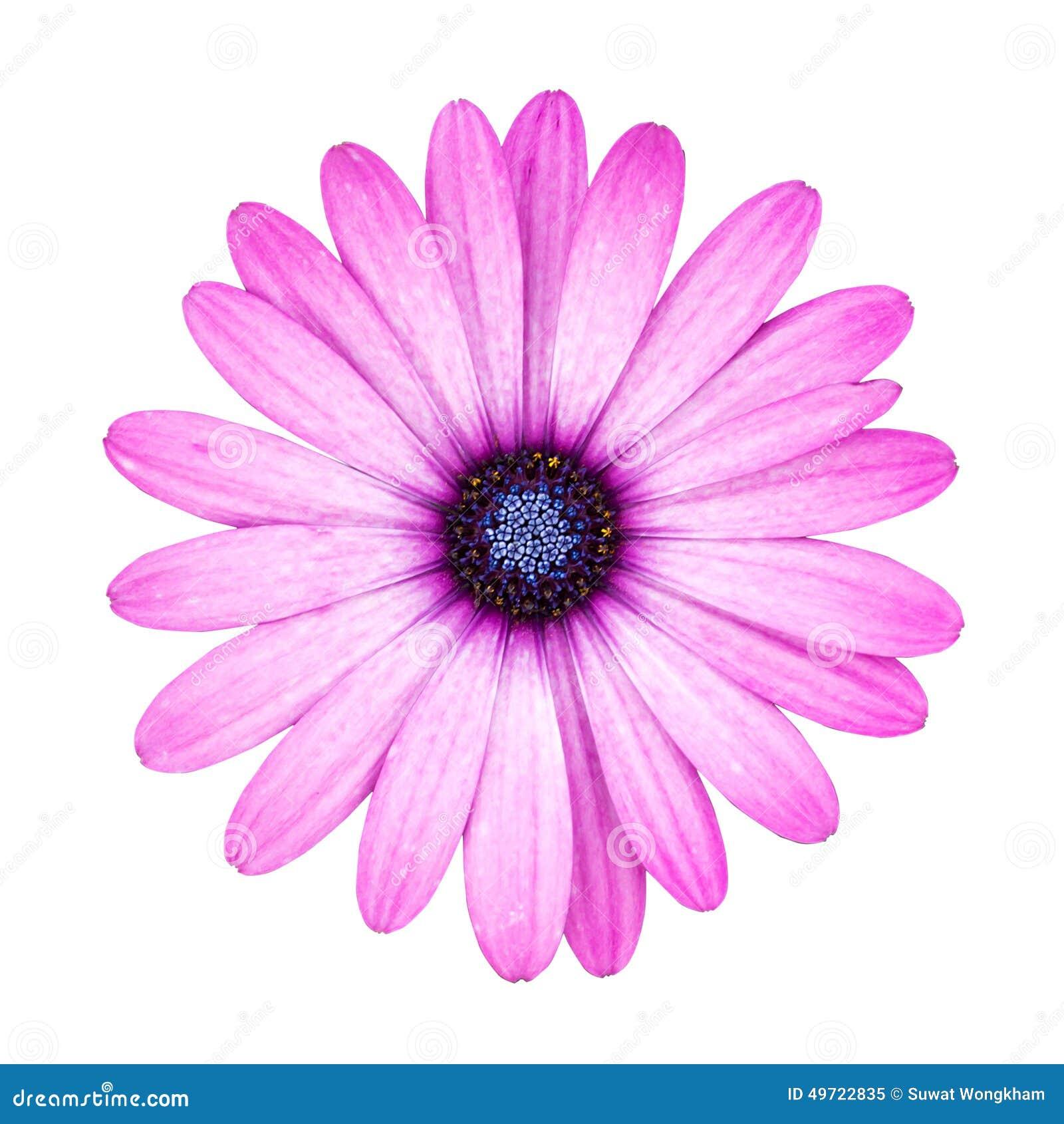 Violet pink osteosperumum flower daisy isolated on white backgro violet pink osteosperumum flower daisy isolated on white backgro mightylinksfo