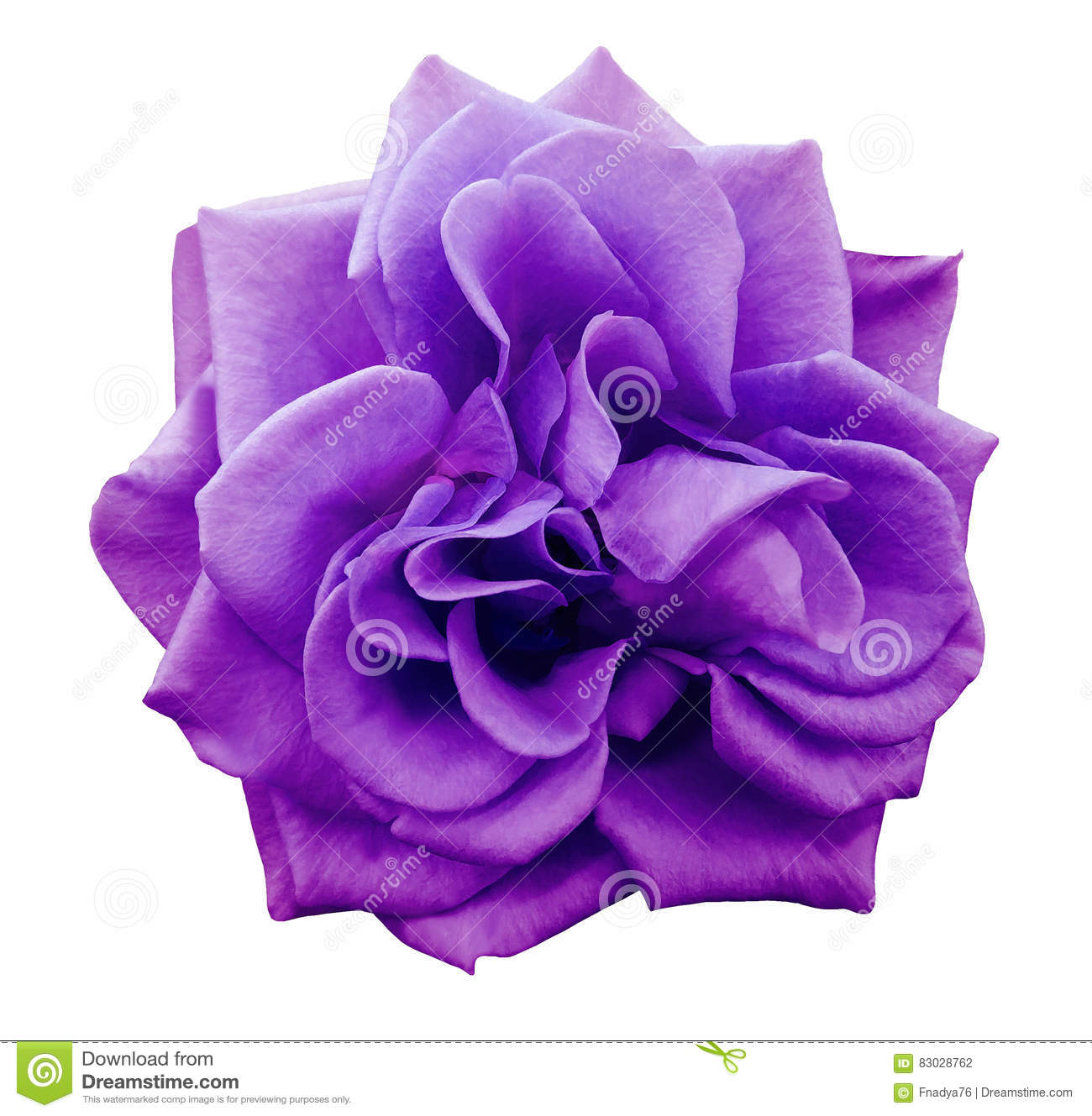 violet rose flower white isolated background with
