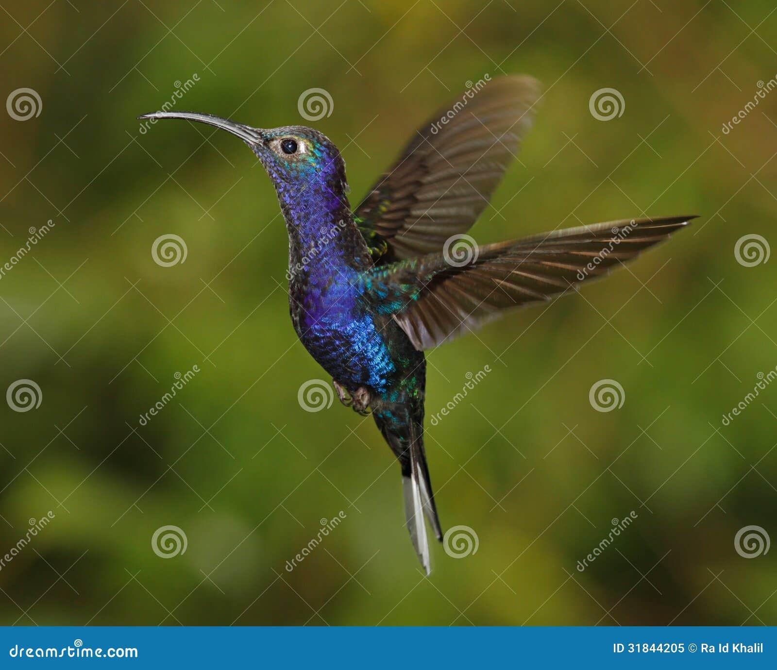 Violet Sabrewing-mannetje