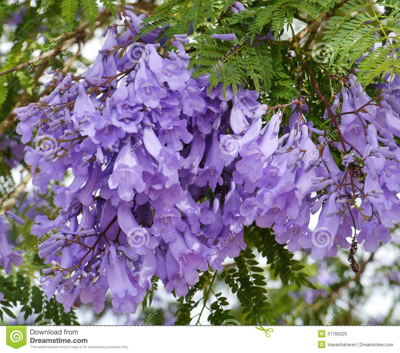 violet trumpet flowers in a tree stock image image of