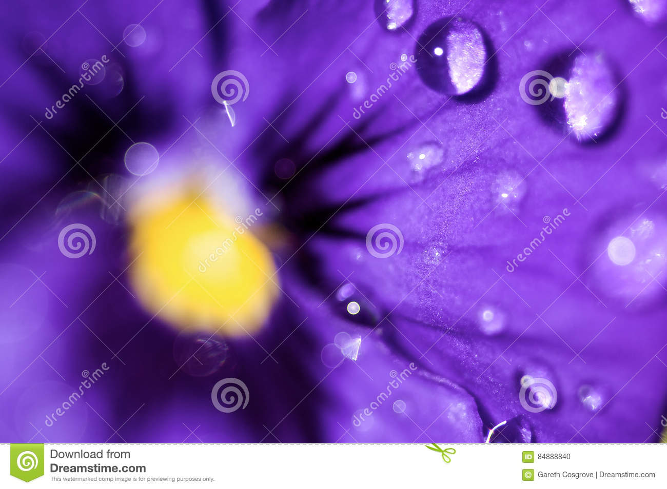 Violet With Water Drops