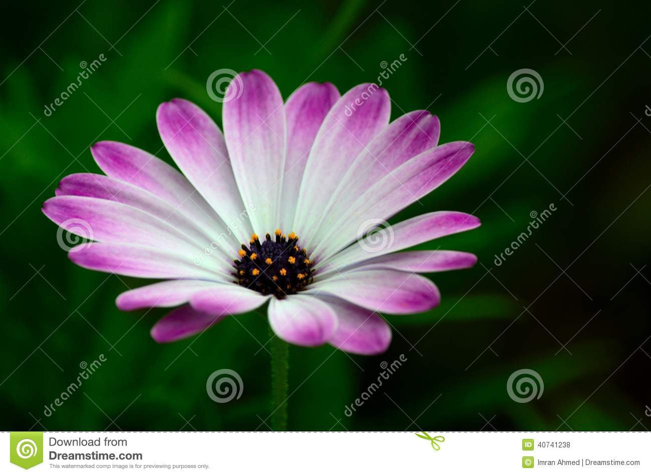 Violet And White Flower Petals With Yellow Stamens Blossoms Stock