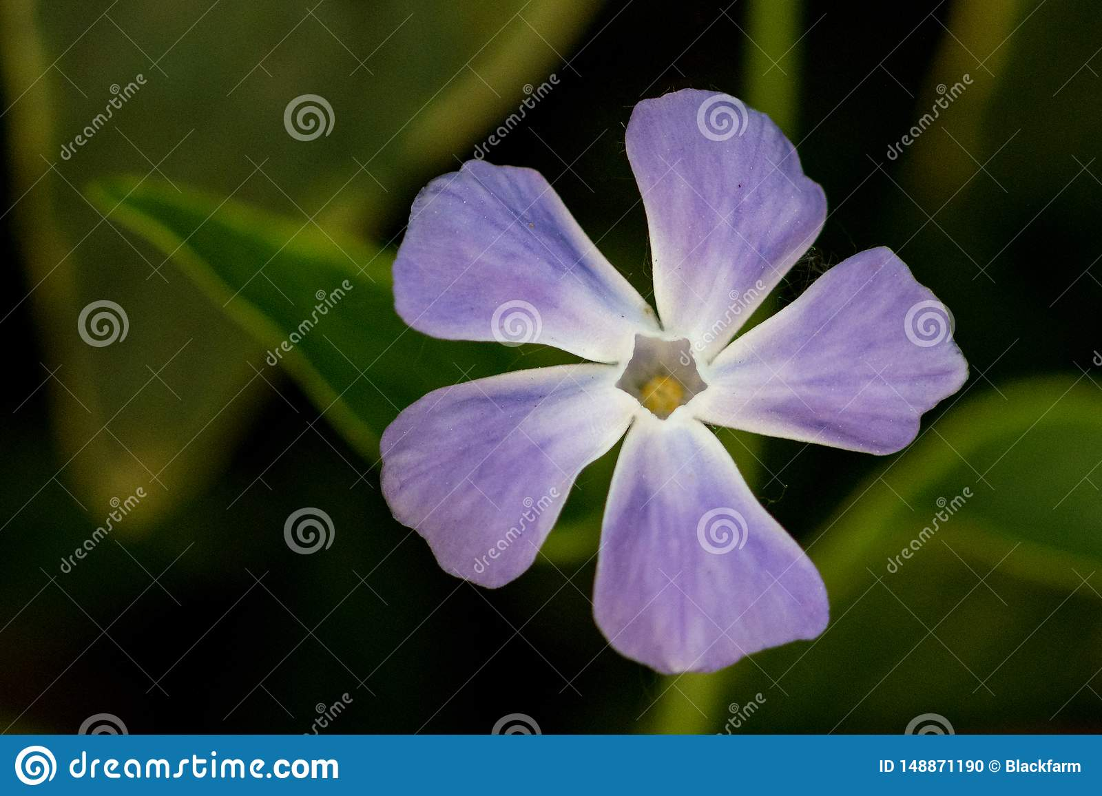 Violet And White Flowers In The Garden Stock Photo , Image