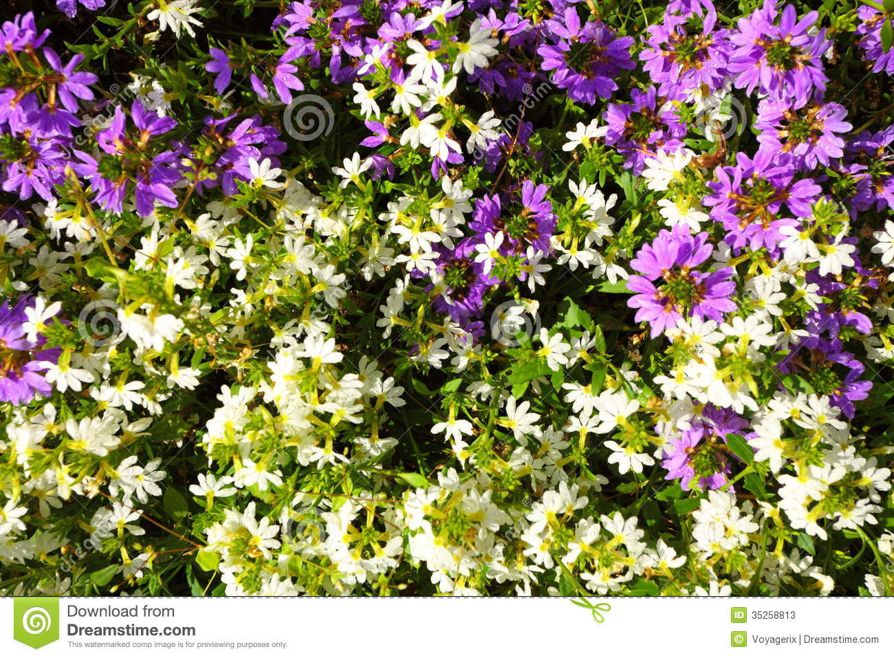 Violet White Flowers In The Garden Shined At Sun Stock Image Image