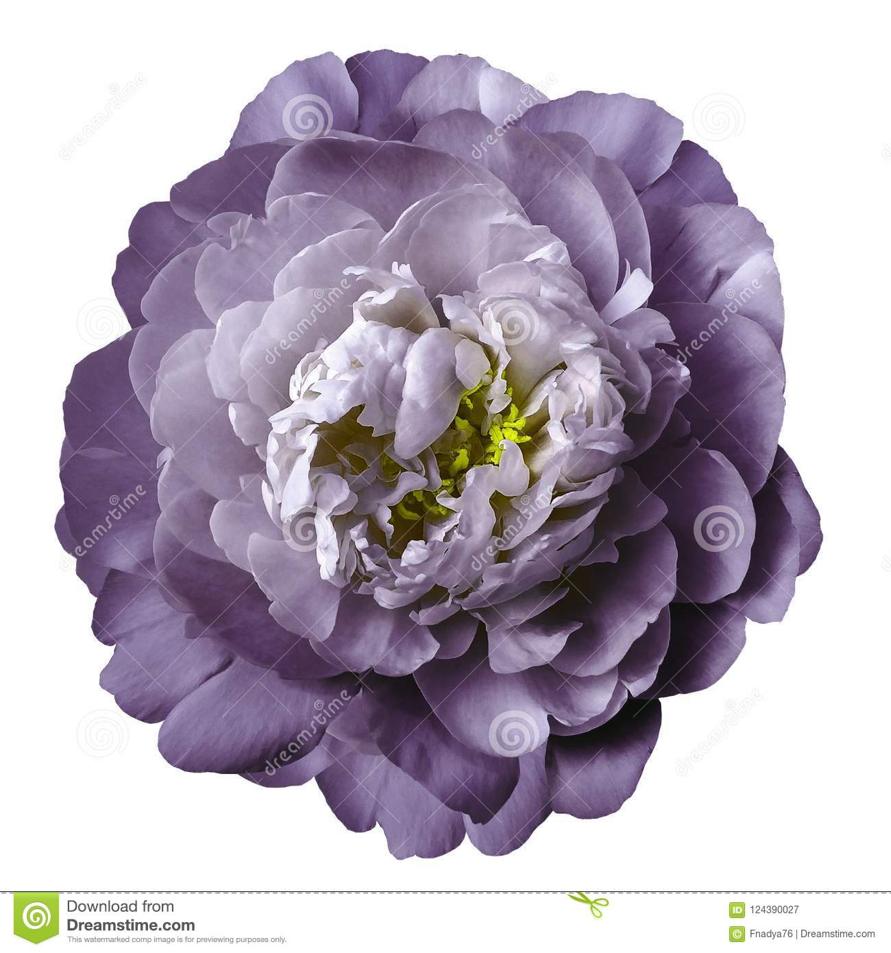 Violet White Peony Flower With Yellow Stamens On An Isolated White