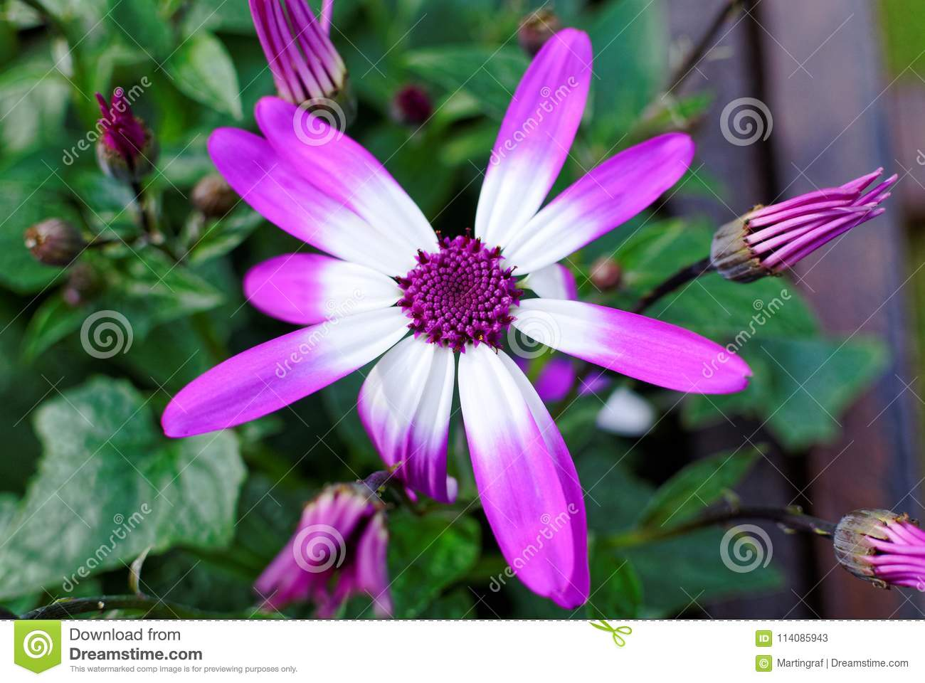 Violet and white petals of daisy spring flower stock image image violet and white petals of daisy spring flower izmirmasajfo Choice Image