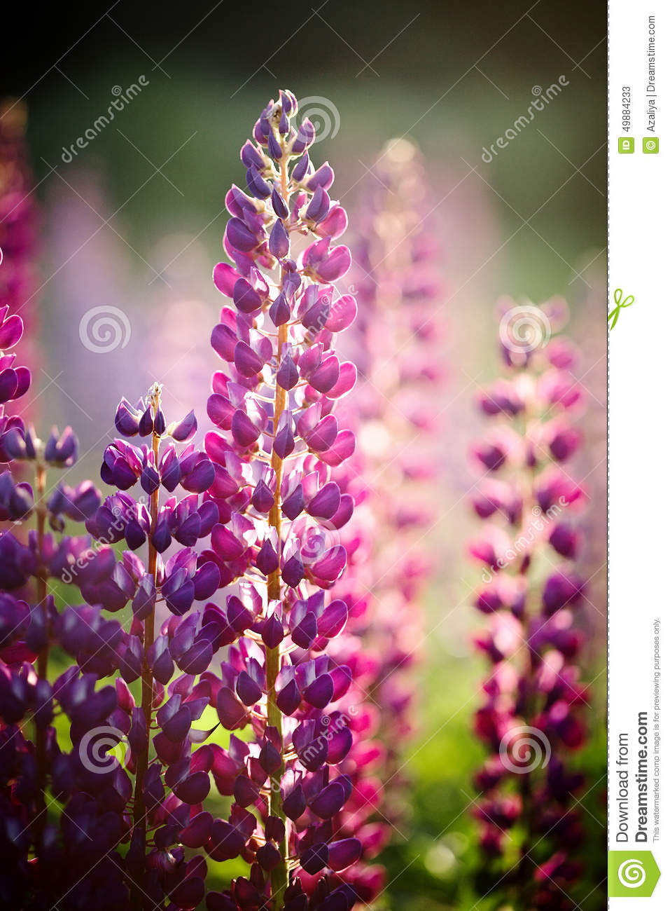 russell lupine how to grow