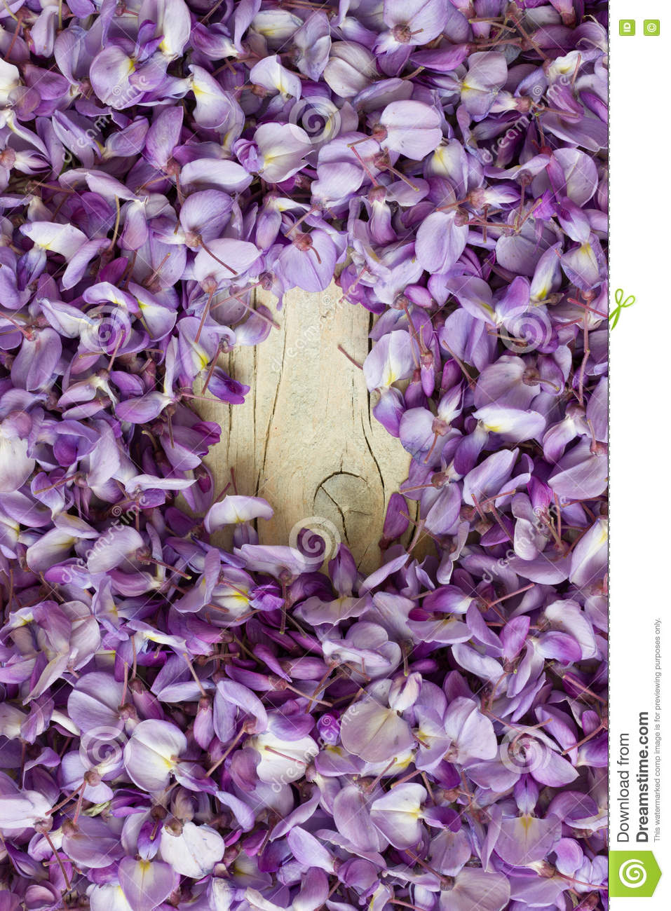 Violet wisteria as background stock image image of lila blossom violet flowers of wisteria on white wooden background with visible small space in the center mightylinksfo