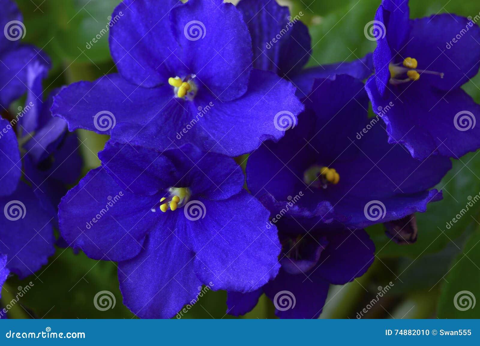 Violeta africana em um potenciômetro