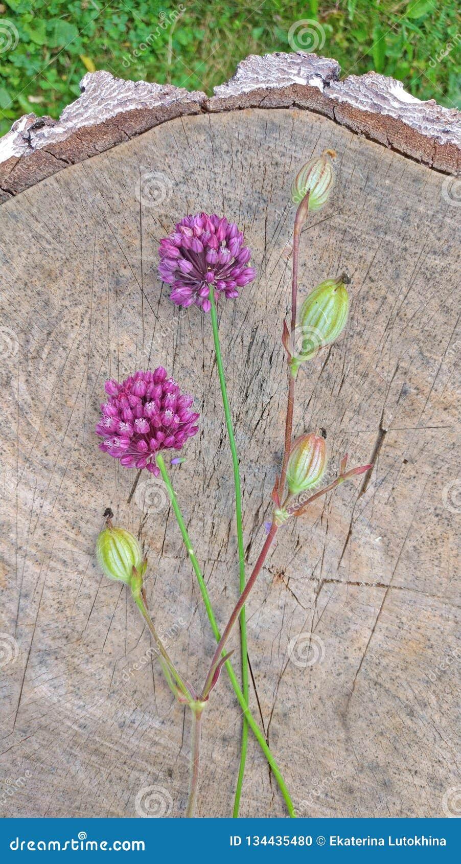 Violeta de la cebolla salvaje en un fondo de madera del nogal negro Wildflowers hermosos del verano Dos flores minimalism Vertica