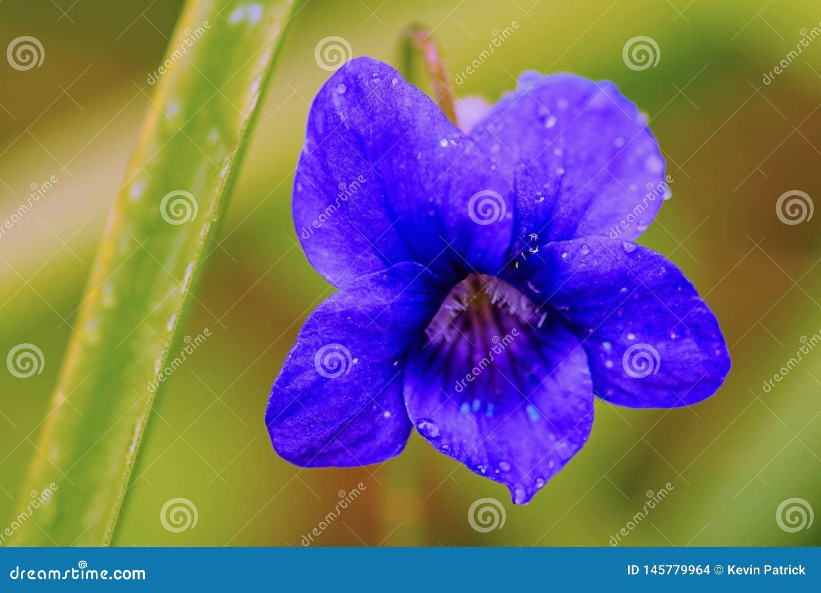 Violeta de madera - Viola Odorata - en la plena floración en un ajuste del arbolado