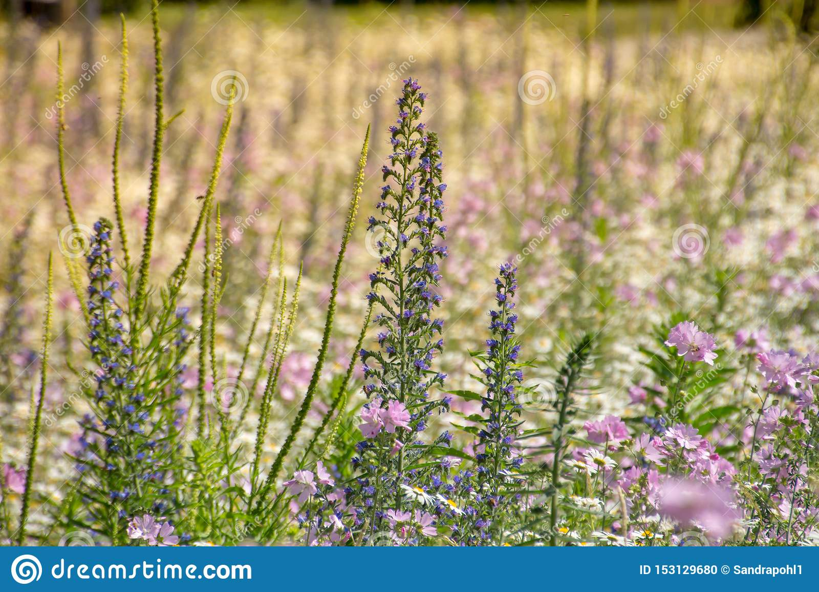 Violeta violeta natural del prado de las flores