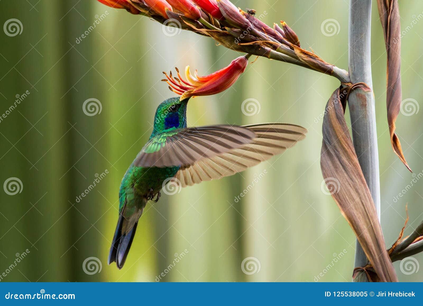 Violeta-oído verde que asoma al lado de la flor roja y amarilla, pájaro en vuelo, bosque tropical de la montaña, México, jardín