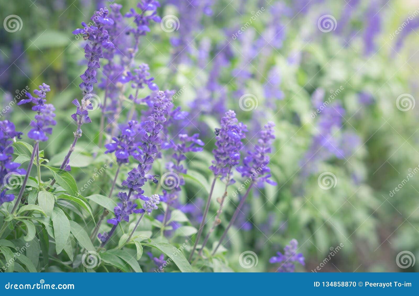 Violeten blommar i trädgård
