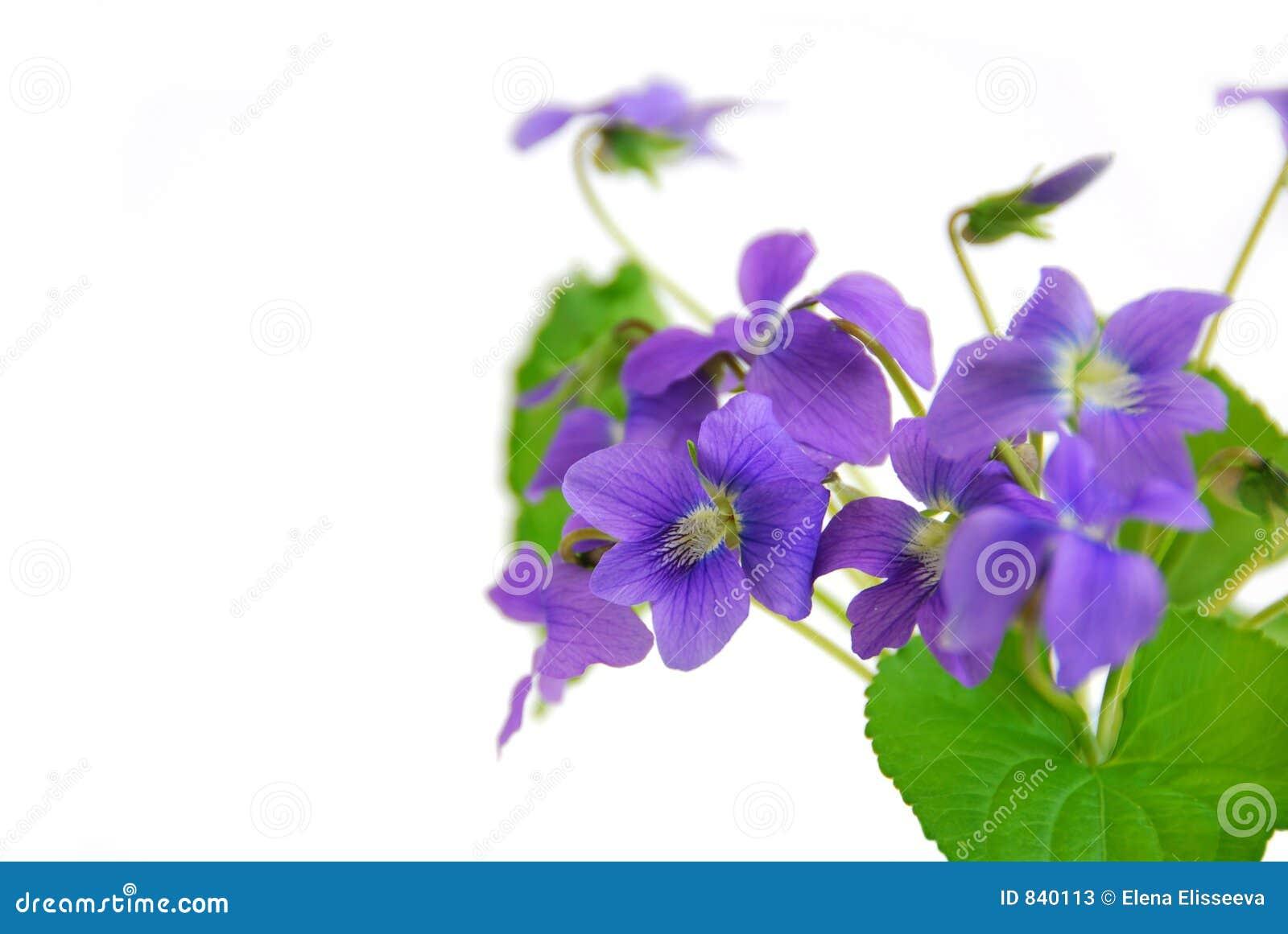 Violets on white background