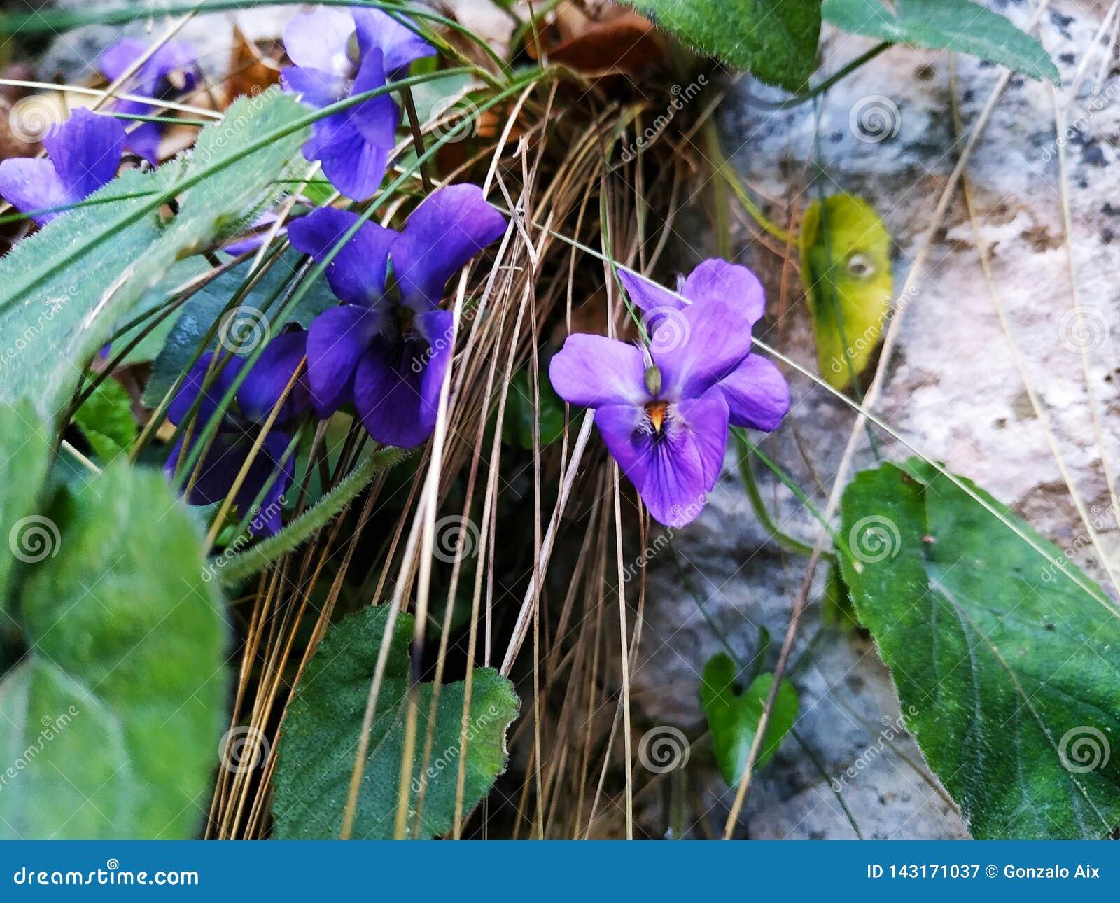 Violett blommaväxt