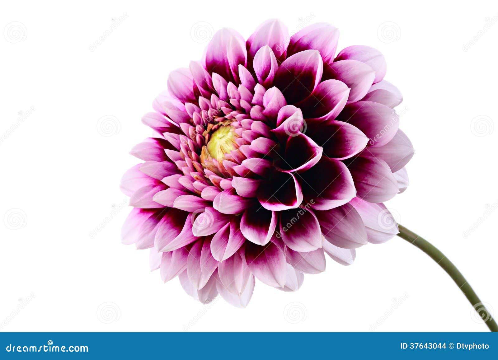 Violett dahlia