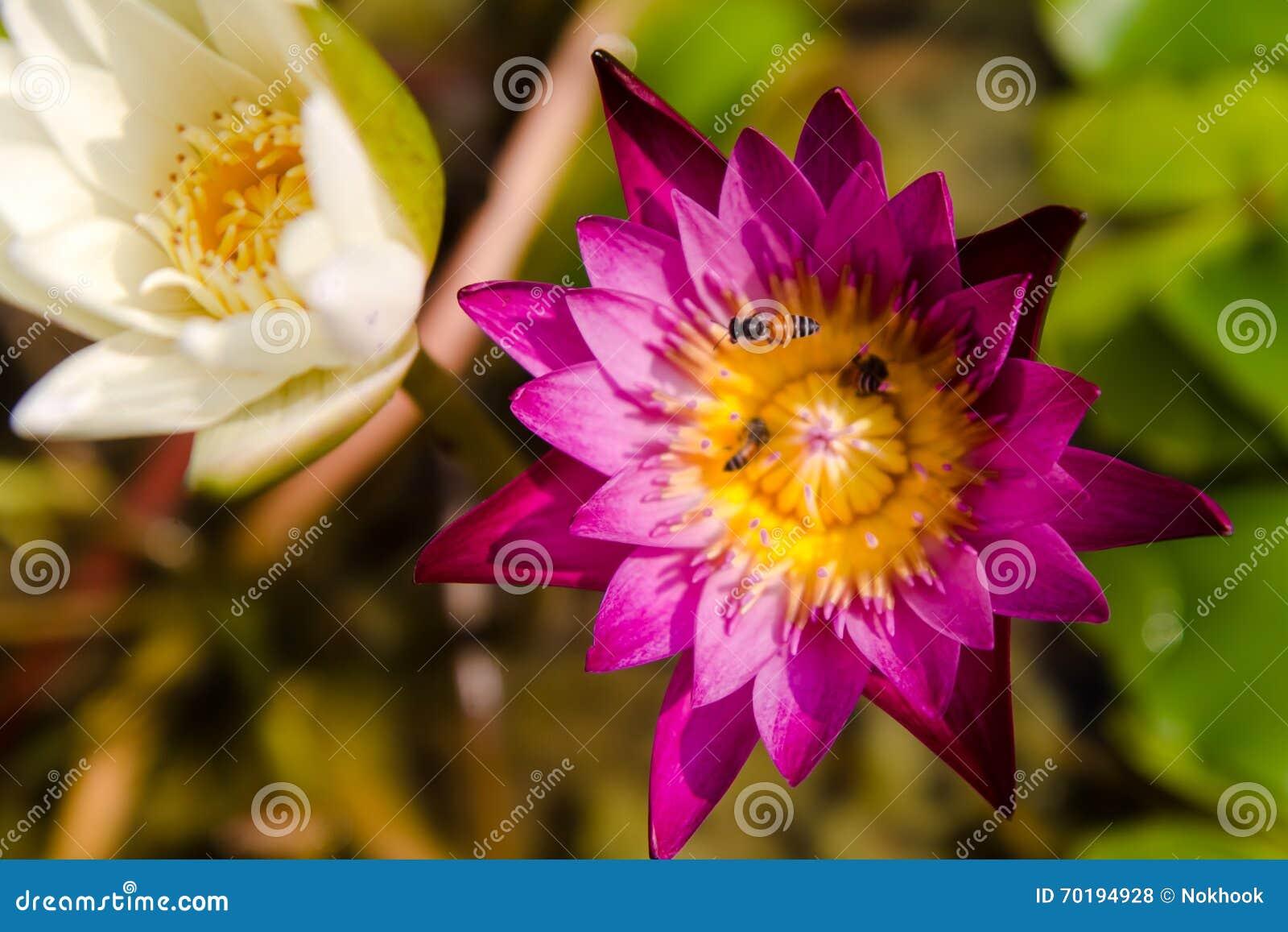 Violett lotusblomma och ett bi