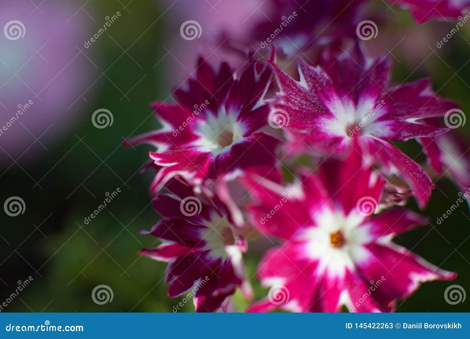Violett makroblomma