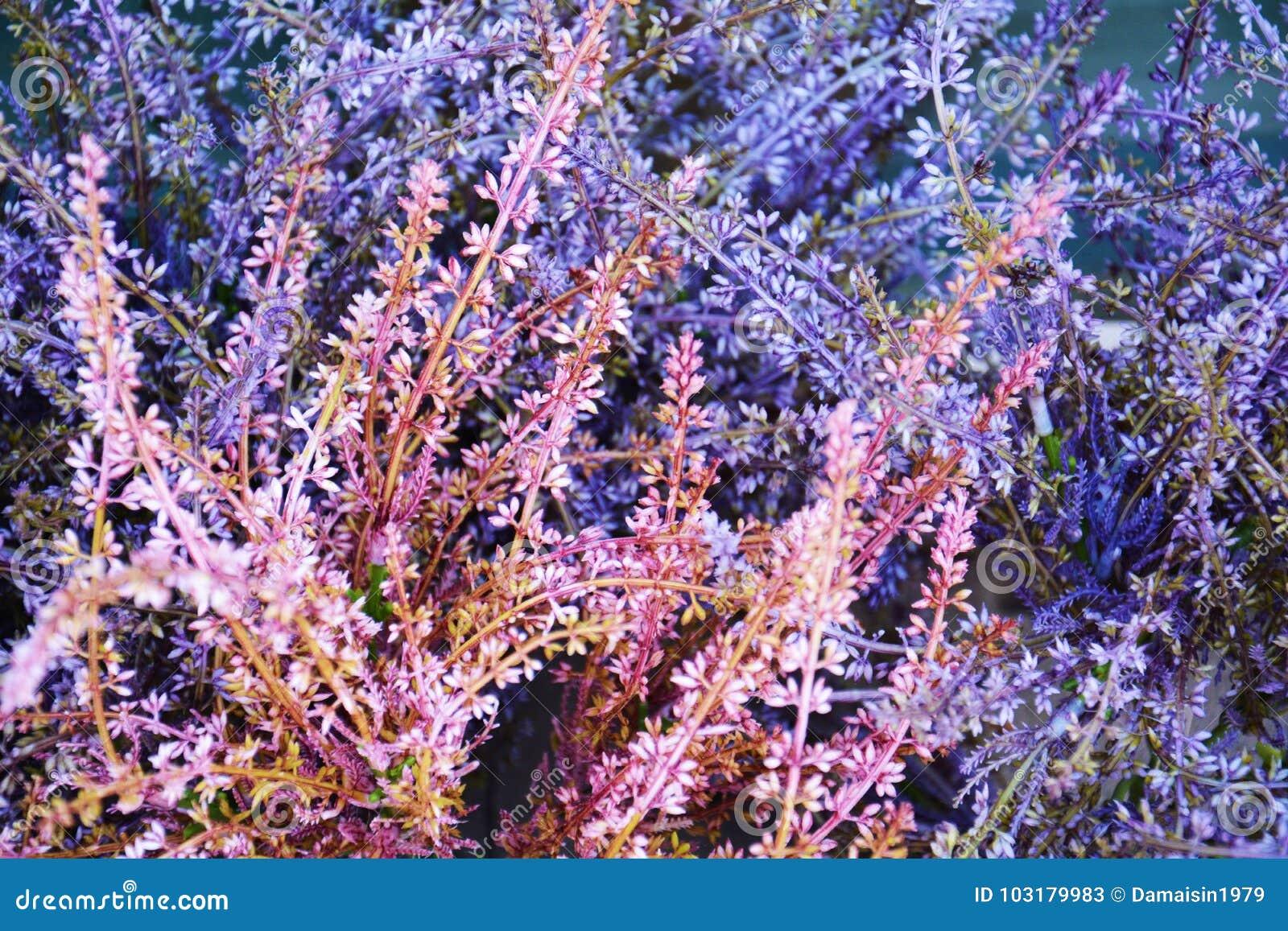 Violetta rosa färger övervintrar blommor, och gräsplan lämnar upp blommor, slut