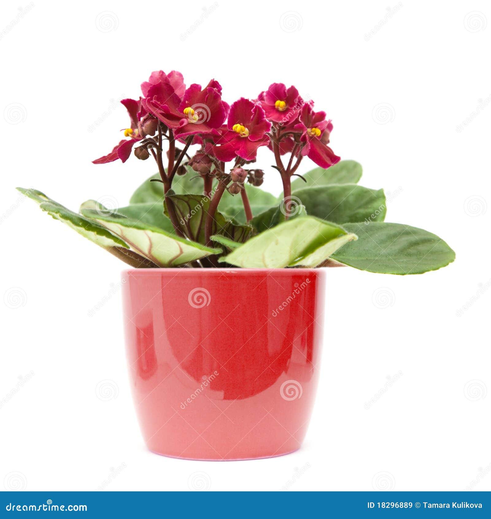 Violette africaine images libres de droits image 18296889 for Violette africane