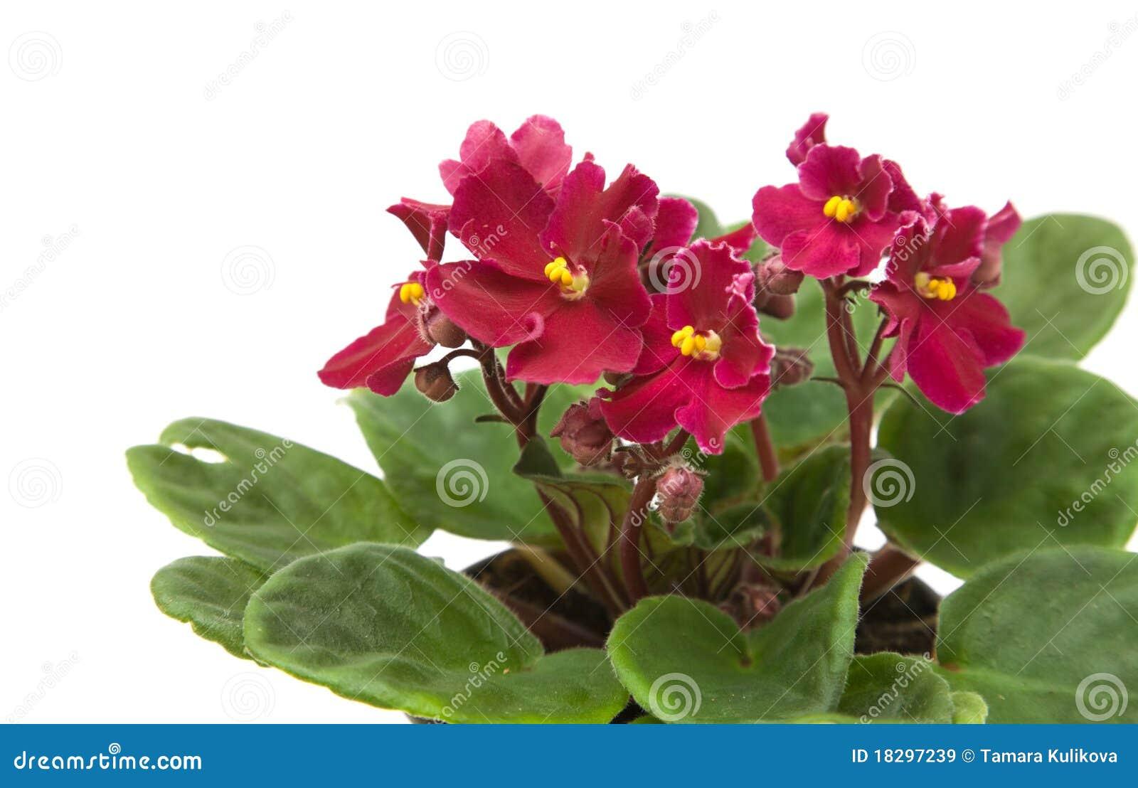 Violette africaine images libres de droits image 18297239 for Violette africane