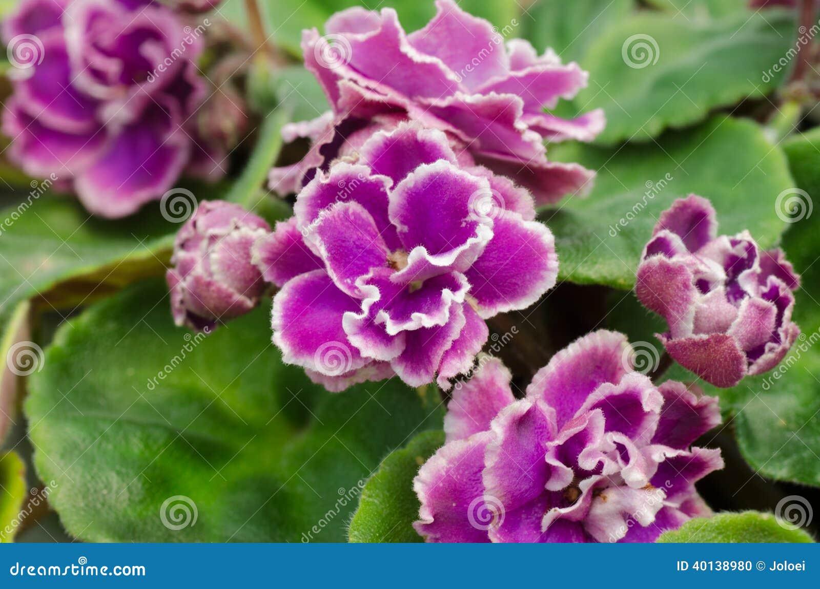 Violette africaine photo stock image du vert pourpr for Violette africane