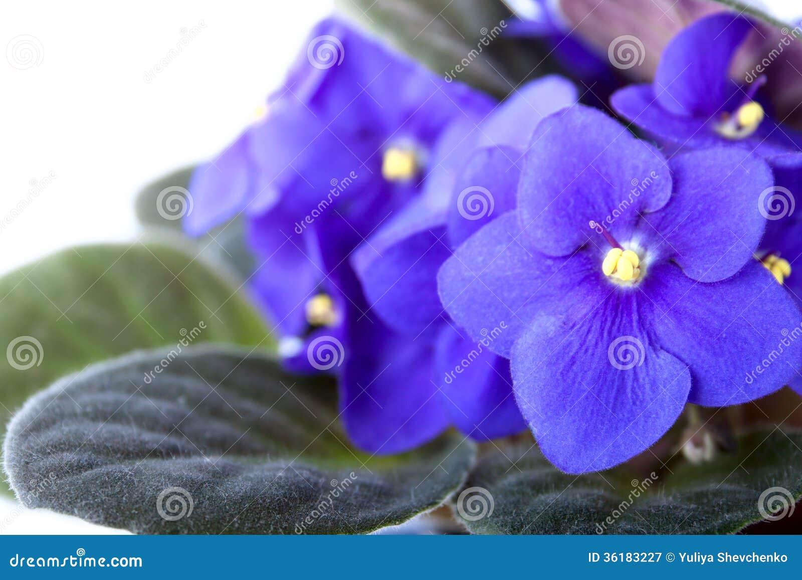 Violette africaine bleue pourpre d 39 isolement sur le blanc for Violette africane